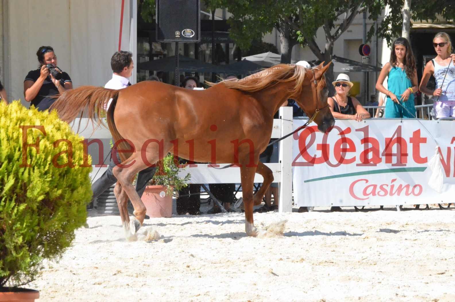 Concours National de Nîmes de chevaux ARABES 2014 - Championnat - MASSAI DE BARREL - 17