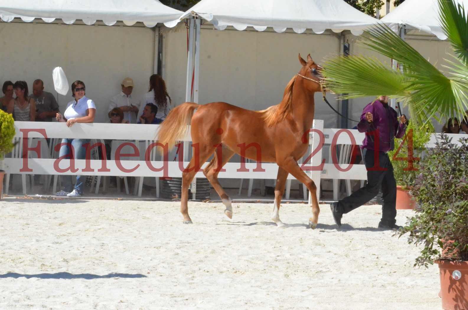 Concours National de Nîmes de chevaux ARABES 2014 - TSAR NERIO - 08