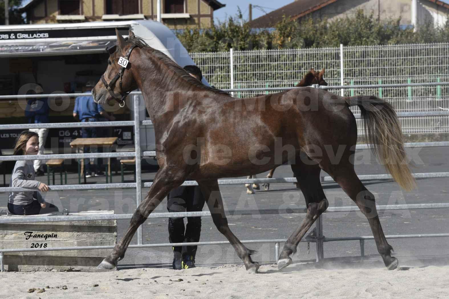 Concours d'élevage de Chevaux Arabes - D S A - A A - ALBI les 6 & 7 Avril 2018 - DJAHM AL MOUNJOYE - Notre Sélection - 6
