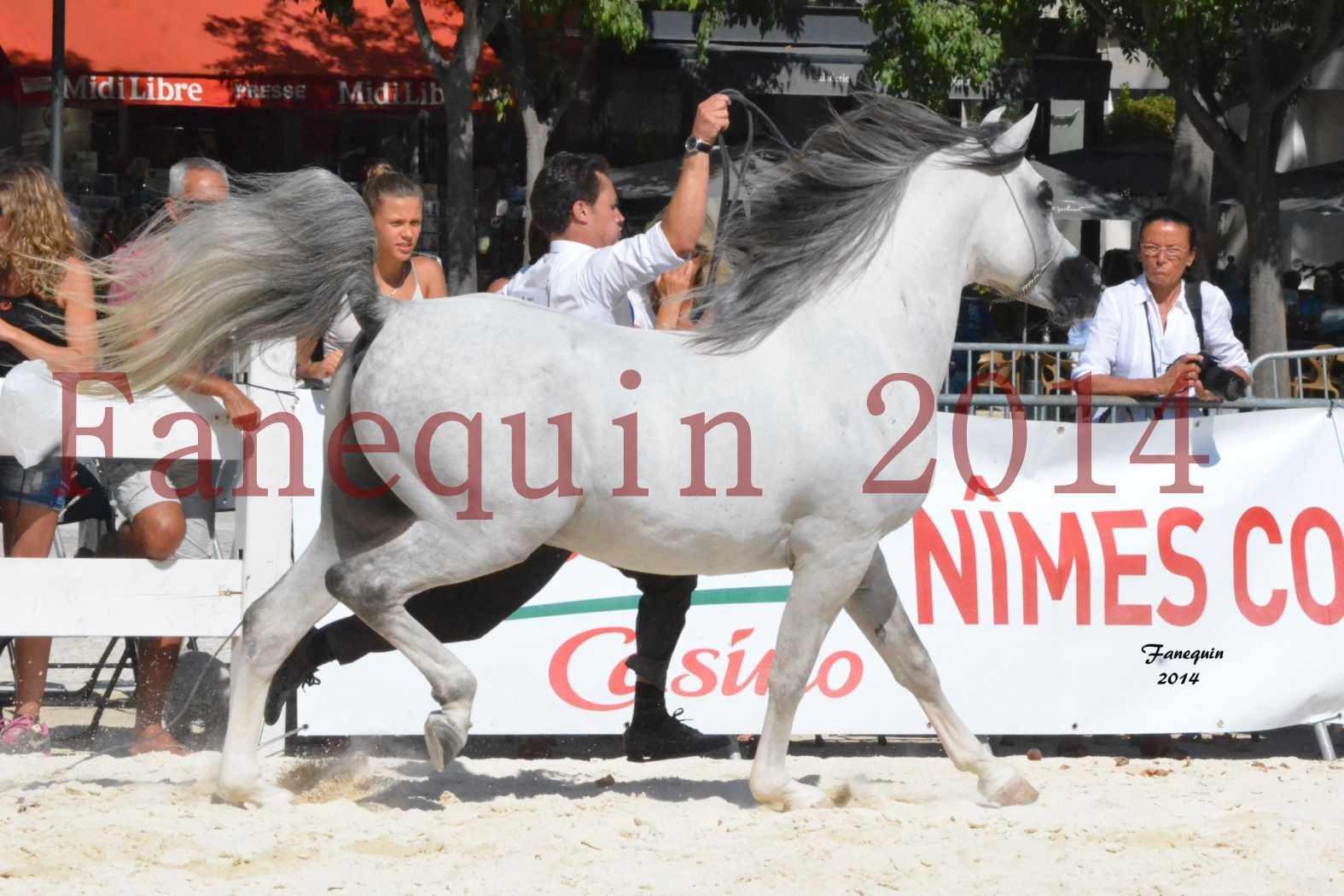 Concours National de Nîmes de chevaux ARABES 2014 - Notre Sélection - SHAOLIN DE NEDJAIA - 15