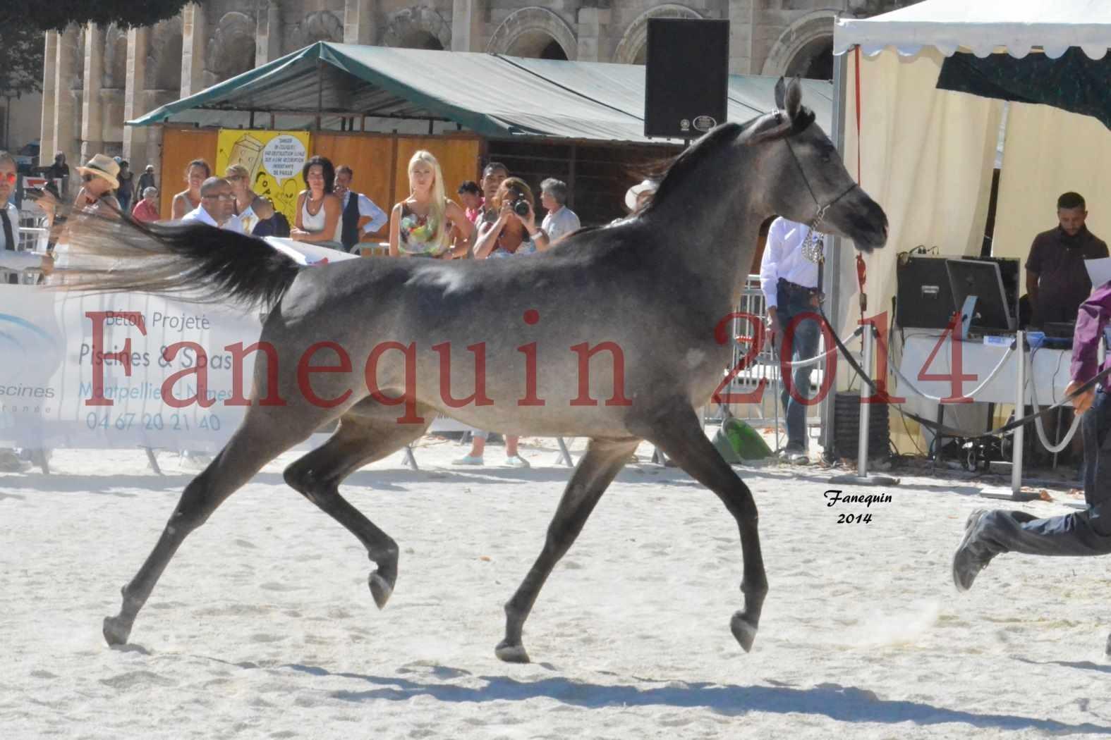 Concours National de Nîmes de chevaux ARABES 2014 - Notre Sélection - JOSEPH'S BOUZIOLS - 14