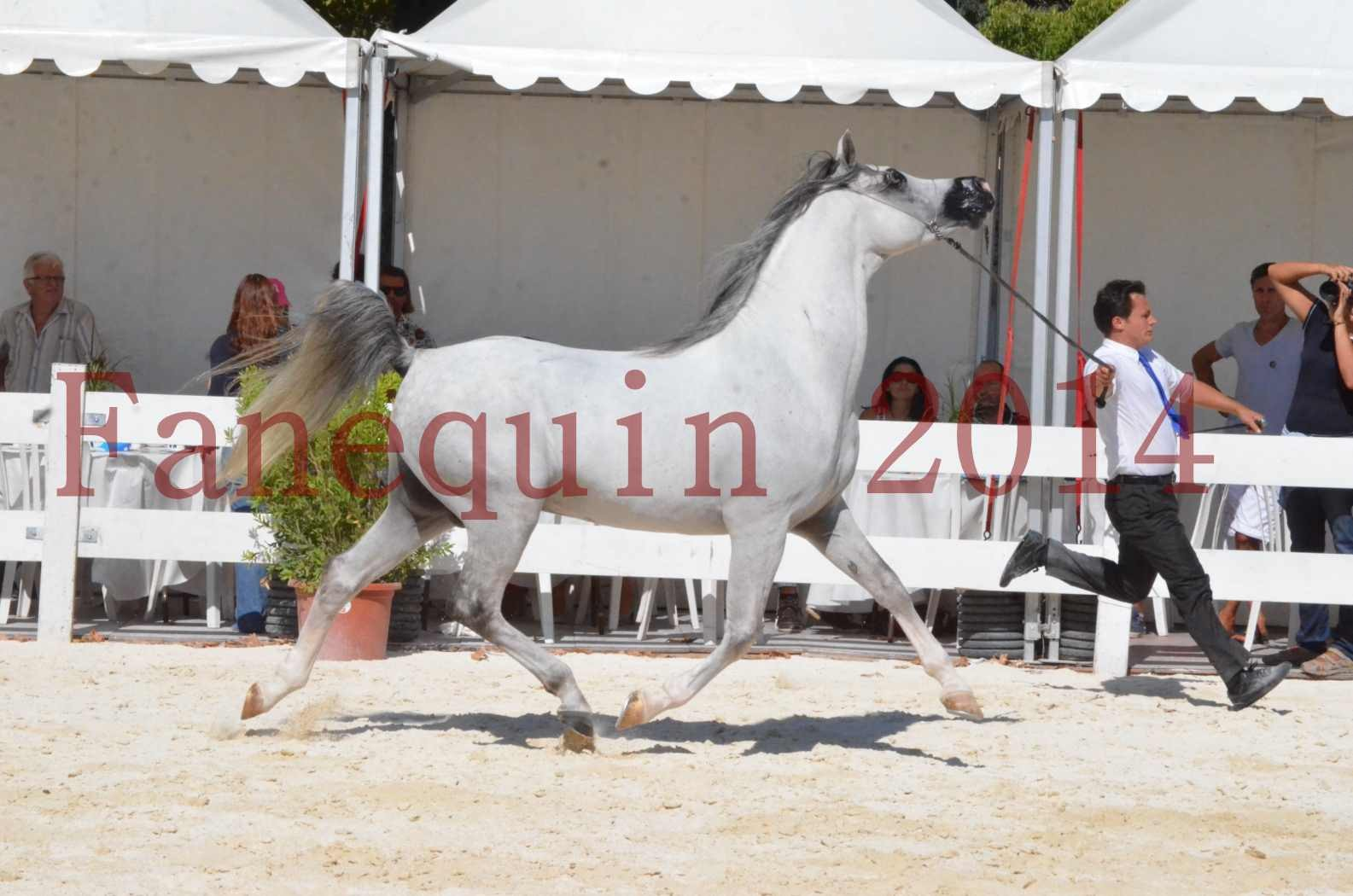 Concours National de Nîmes de chevaux ARABES 2014 - Sélection - SHAOLIN DE NEDJAIA - 06