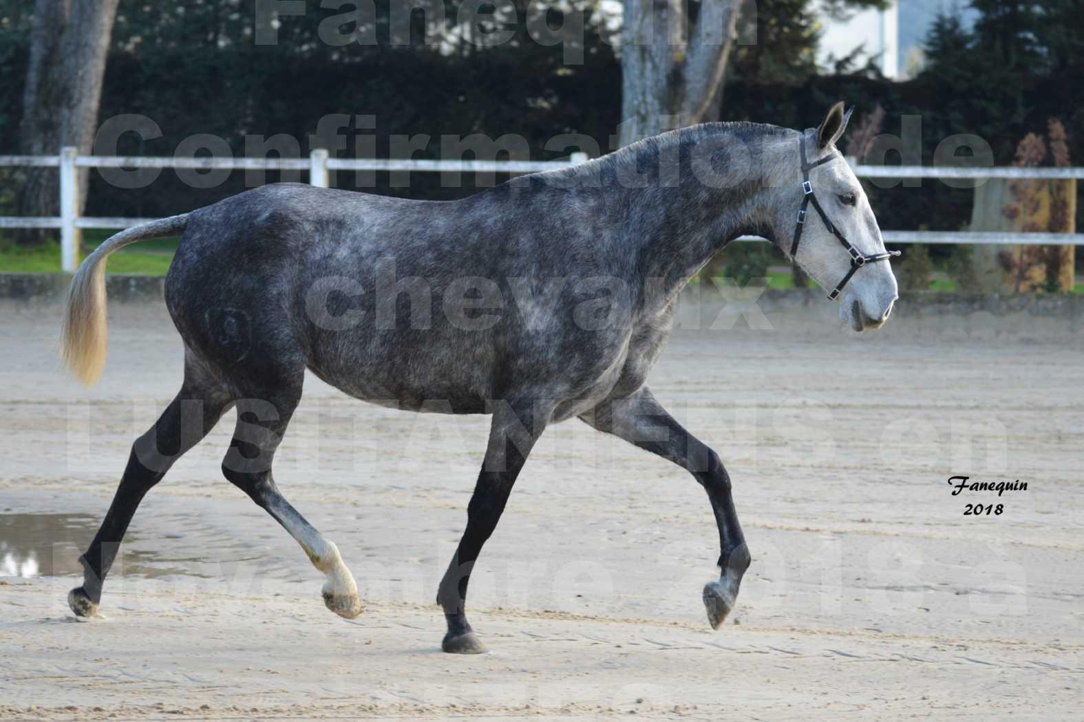 Confirmation de chevaux LUSITANIENS aux Haras d'UZES Novembre 2018 - DALIA DU CLOS - 3