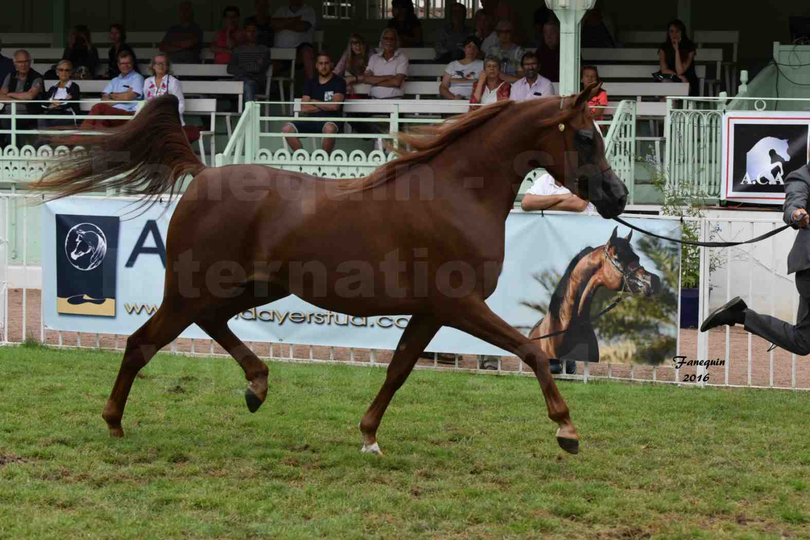 International Arabian Horse Show B de VICHY 2016 - PEARL DE DJOON - Notre Sélection - 07