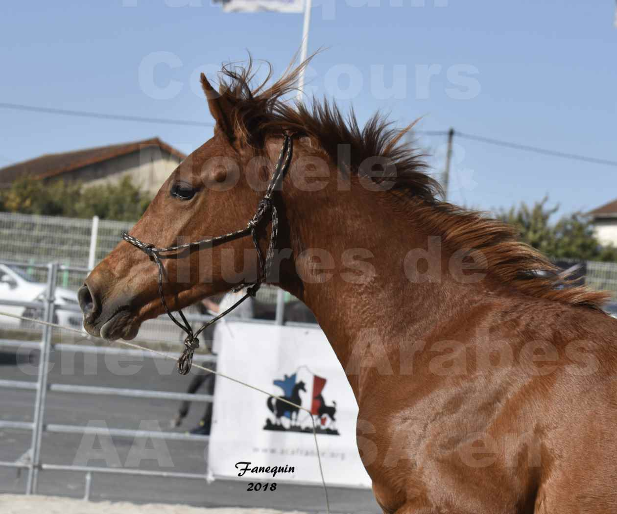 Concours d'élevage de Chevaux Arabes - Demi Sang Arabes - Anglo Arabes - ALBI les 6 & 7 Avril 2018 - GRIOU DU GRIOU - Notre Sélection - Portraits - 1