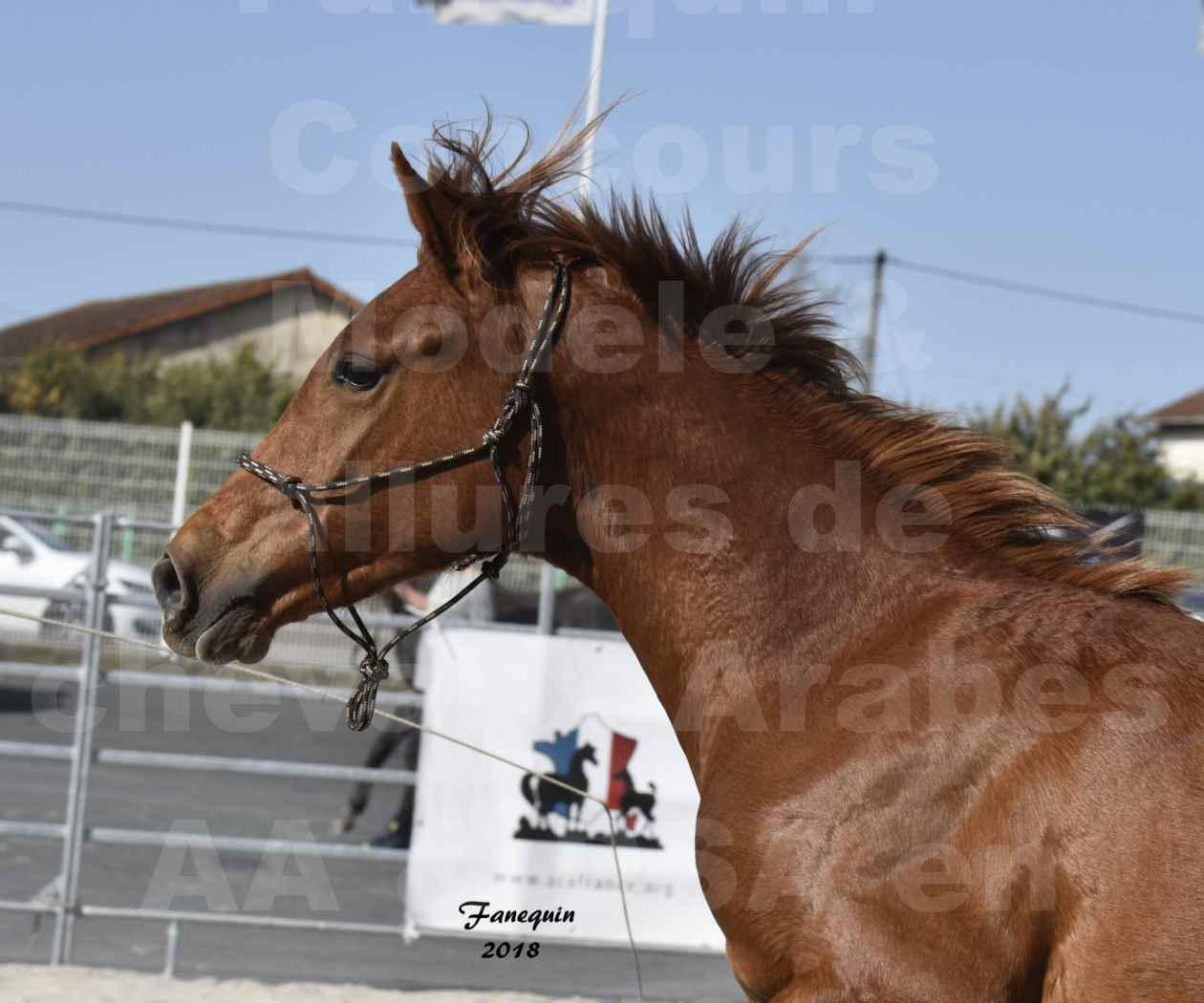 Concours d'élevage de Chevaux Arabes - D. S. A. - A. A. - ALBI les 6 & 7 Avril 2018 - GRIOU DU GRIOU - Notre Sélection - Portraits - 1