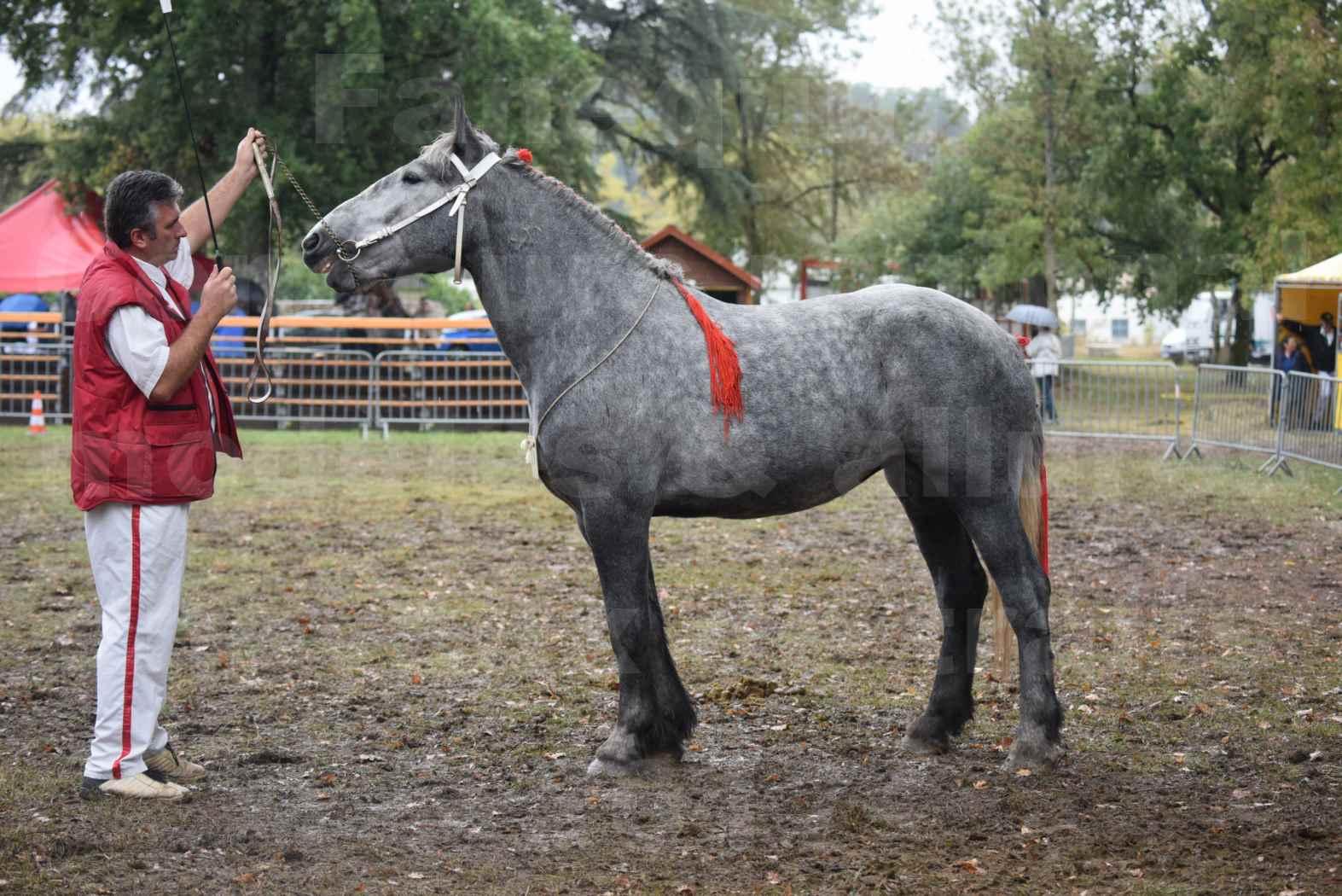 Concours Régional de chevaux de traits en 2017 - Pouliche Trait PERCHERON - FANY DES COUSTAUSSES - 3