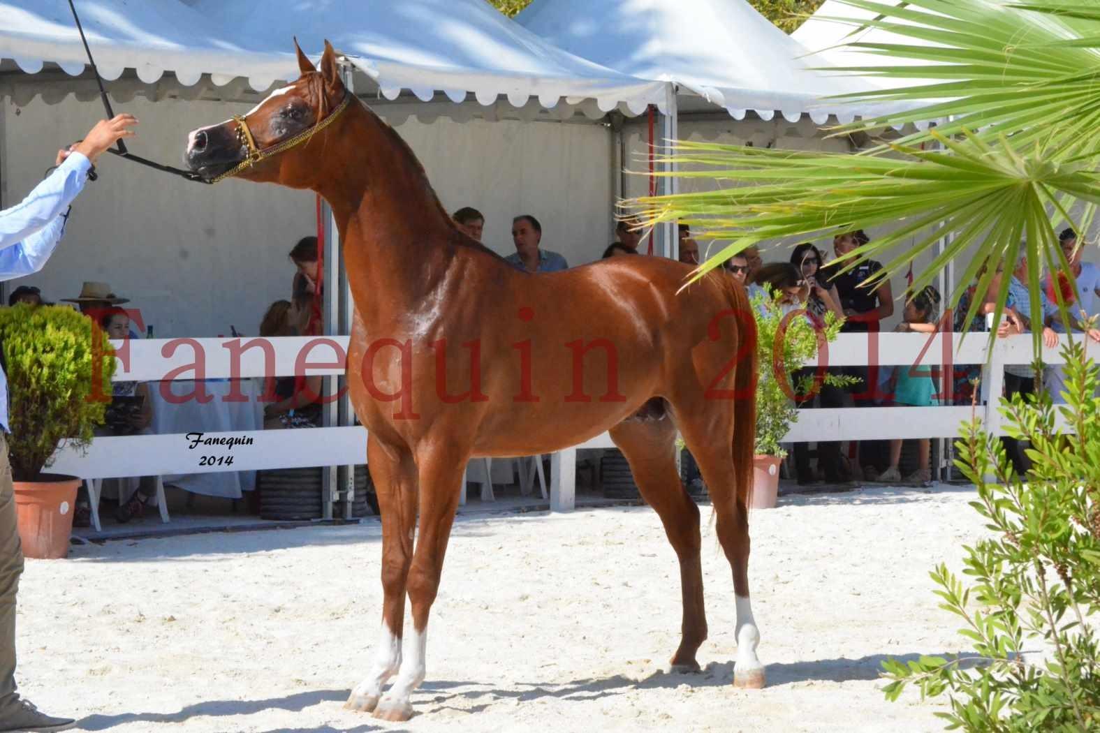 Concours National de Nîmes de chevaux ARABES 2014 - Notre Sélection - DZHARI NUNKI - 08