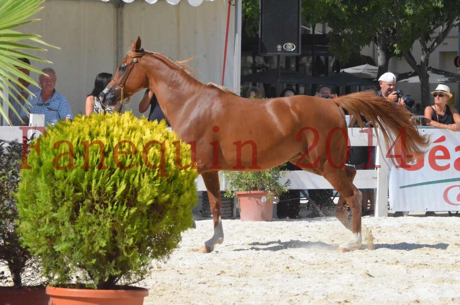 Concours National de Nîmes de chevaux ARABES 2014 - Championnat - MASSAI DE BARREL - 23
