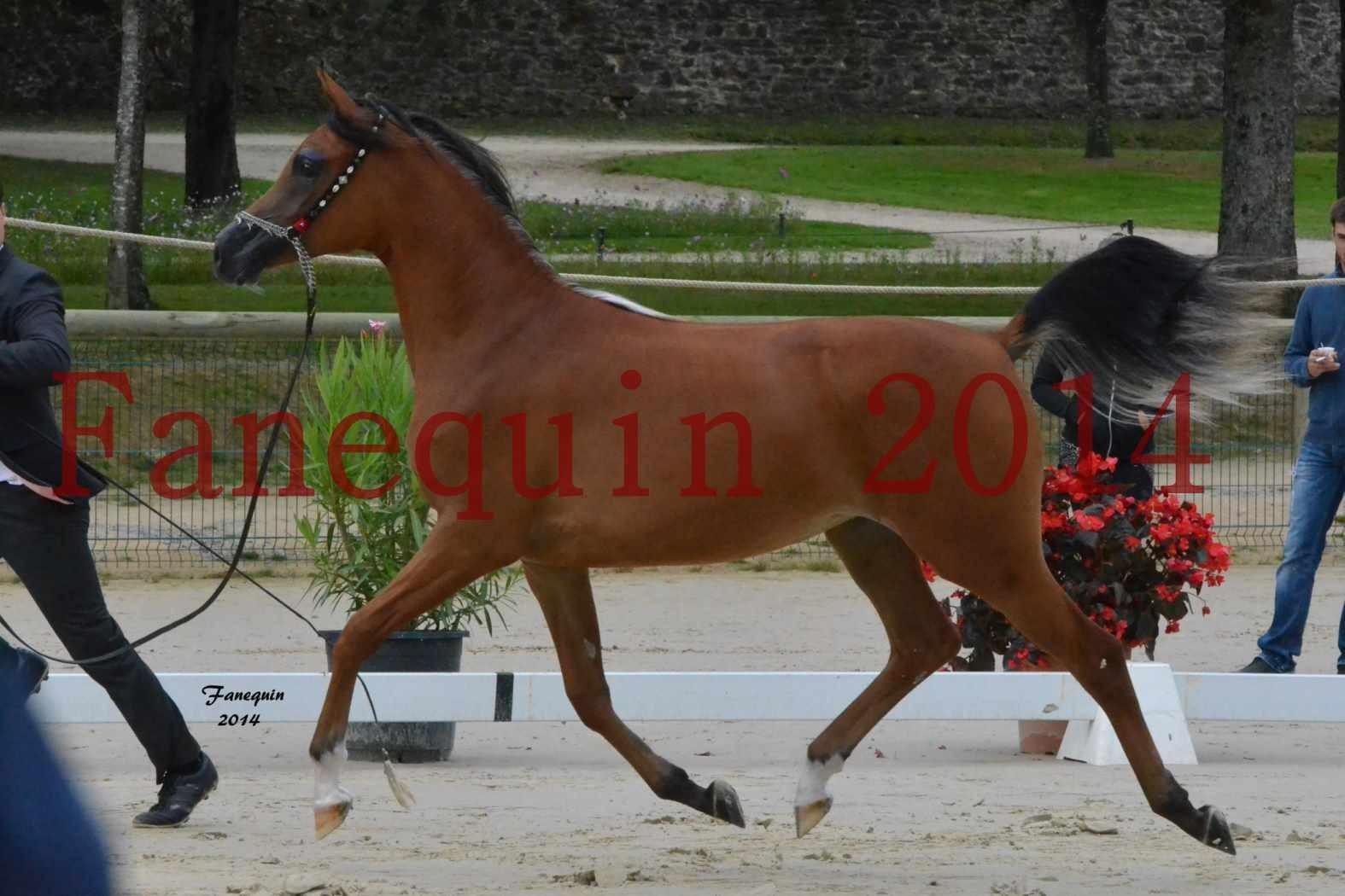 Championnat de FRANCE 2014 à POMPADOUR - Médaille de Bronze - pouliches de 1 an - SHABNAM IBN ASLAL - 07