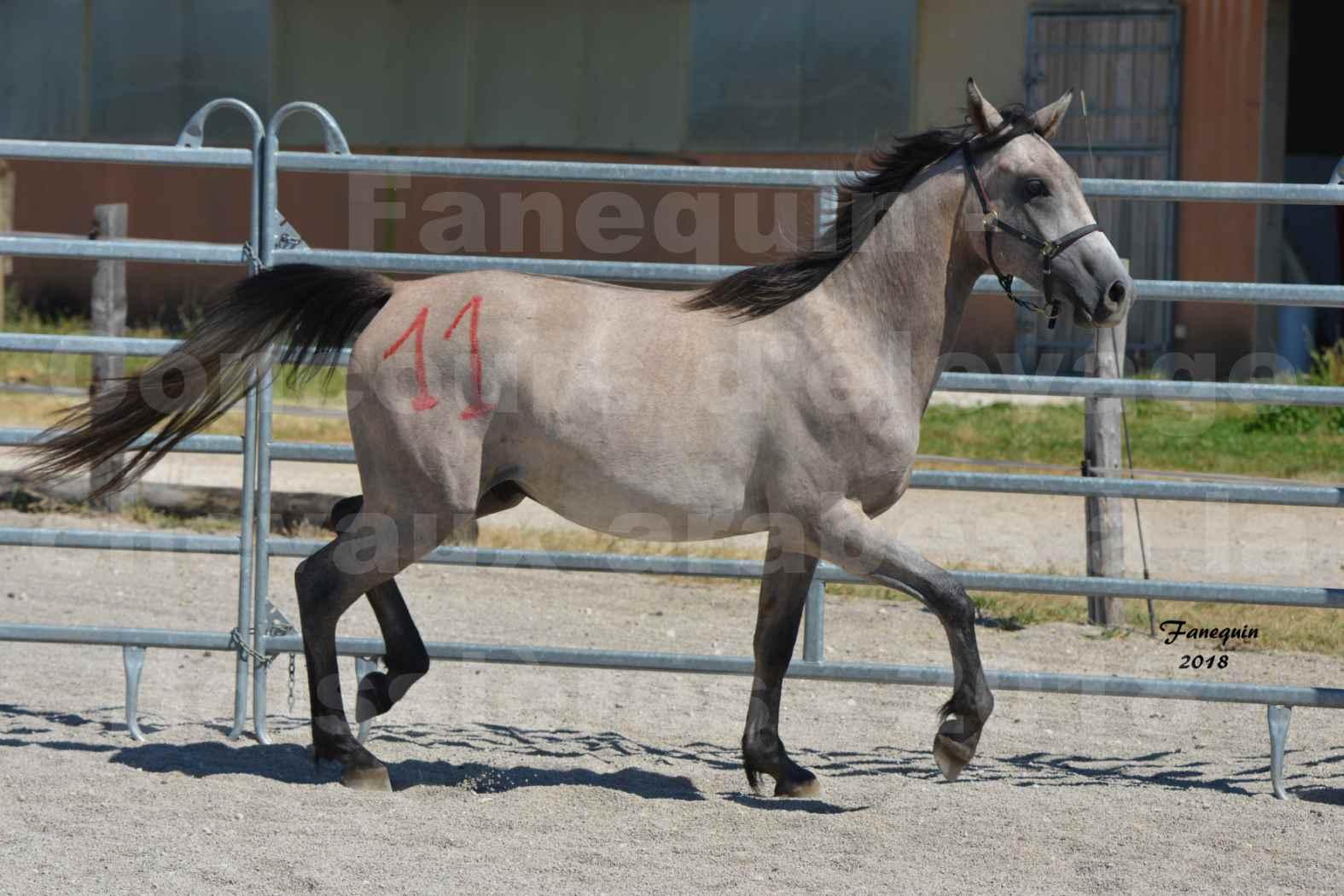 Concours d'Elevage de chevaux Arabes  le 27 juin 2018 à la BOISSIERE - GAZRAK D'AURIERES - 01