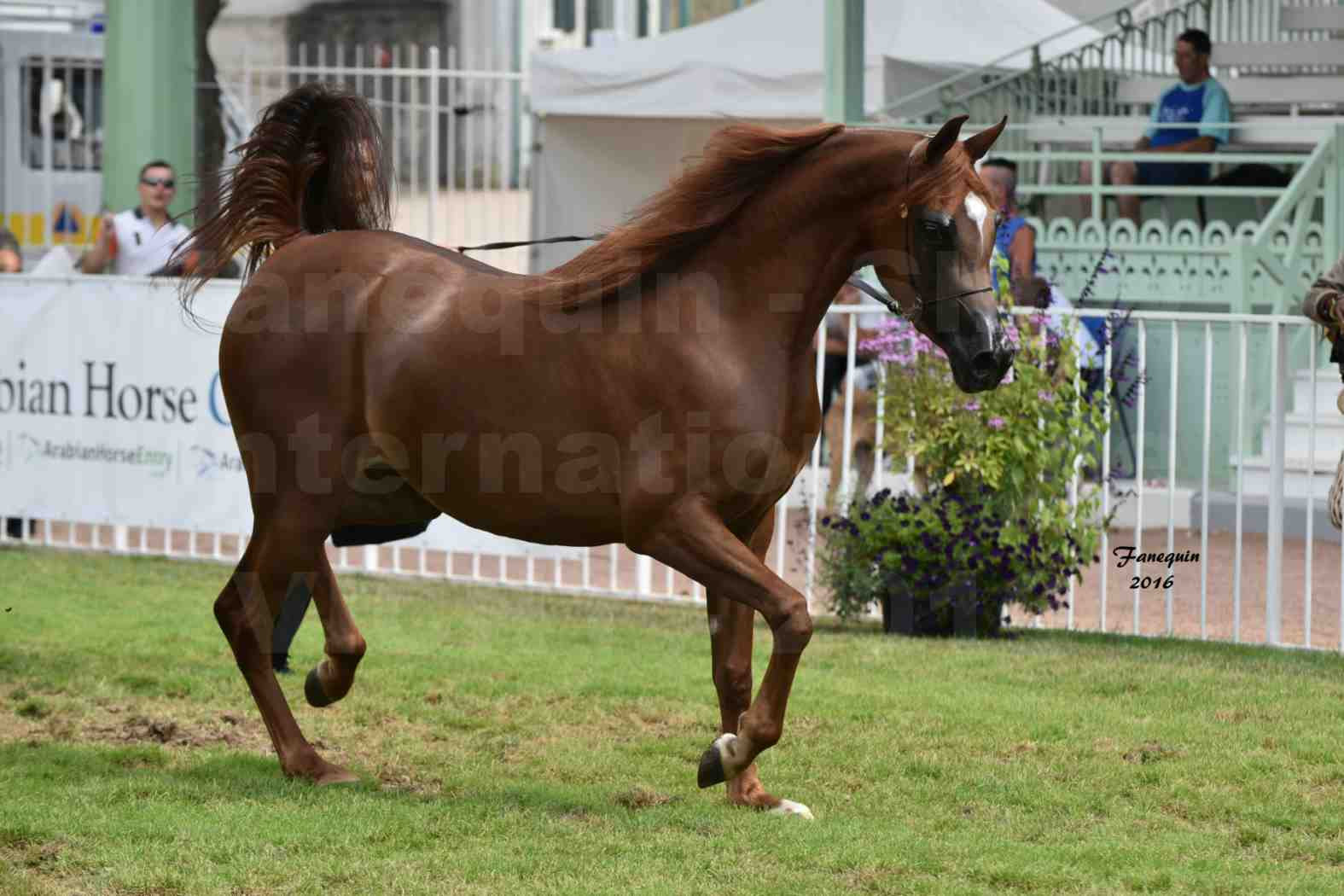International Arabian Horse Show B de VICHY 2016 - PEARL DE DJOON - Notre Sélection - 28