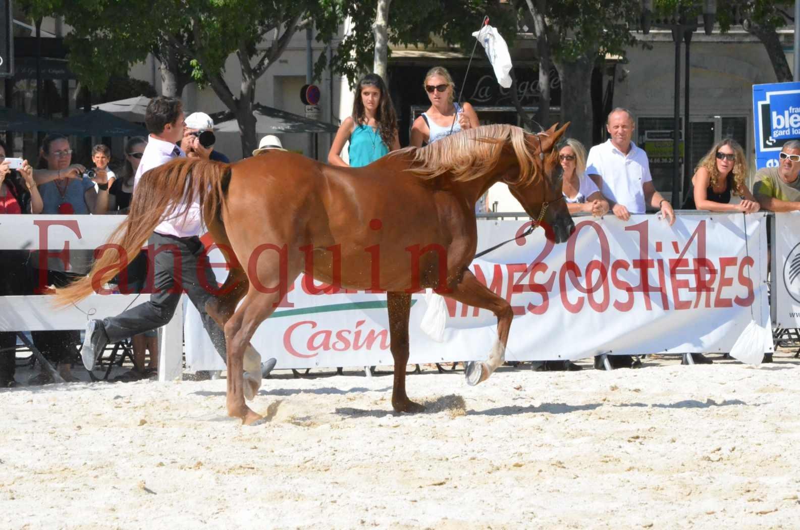 Concours National de Nîmes de chevaux ARABES 2014 - Championnat - MASSAI DE BARREL - 19