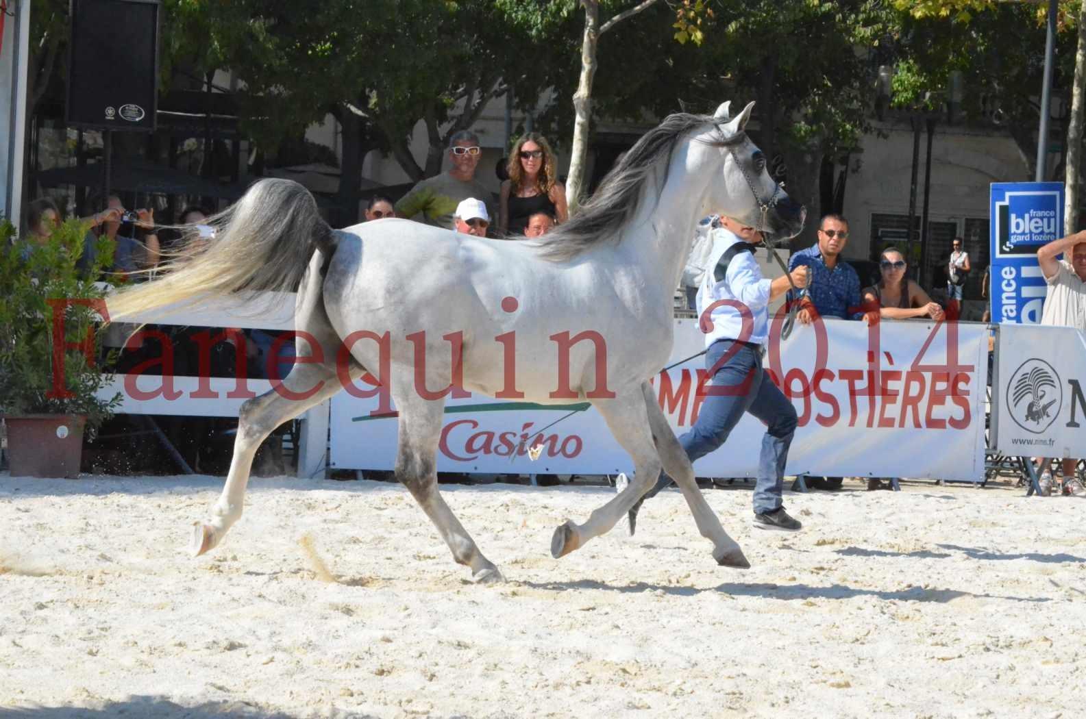 Concours National de Nîmes de chevaux ARABES 2014 - Championnat - SHAOLIN DE NEDJAIA - 14