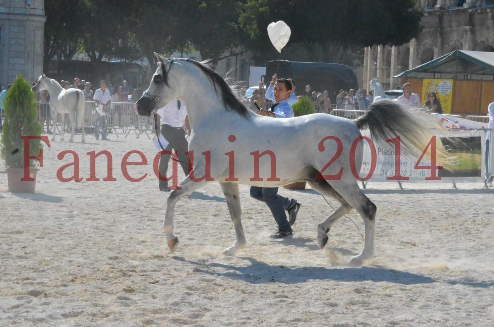 Concours National de Nîmes de chevaux ARABES 2014 - Championnat - SHAOLIN DE NEDJAIA - 03
