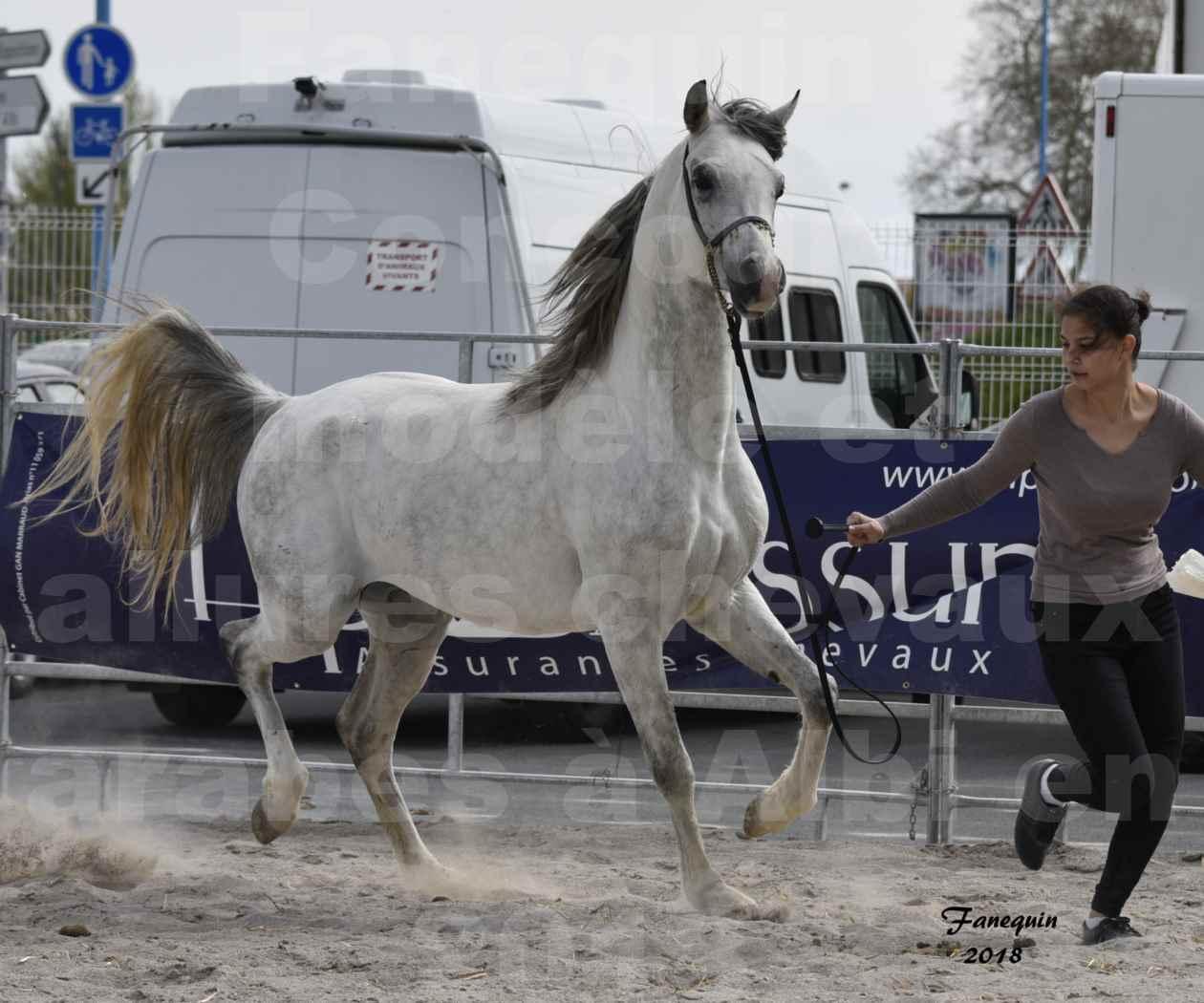 Concours d'élevage de Chevaux Arabes - Demi Sang Arabes - Anglo Arabes - ALBI les 6 & 7 Avril 2018 - FADI ALBIDAYER - Notre Sélection - 02