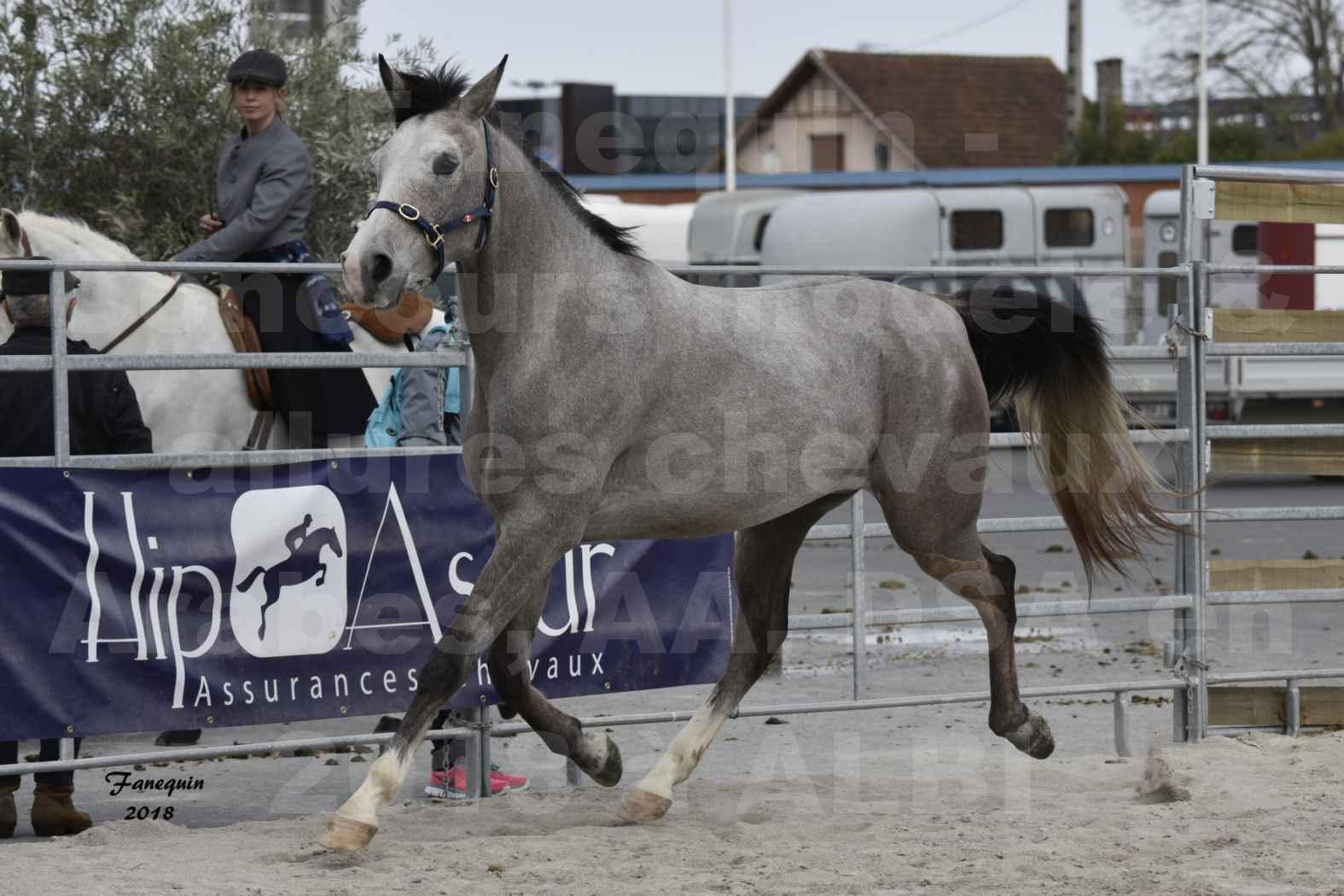 Concours d'élevage de Chevaux Arabes - D. S. A. - A. A. - ALBI les 6 & 7 Avril 2018 - FESIHAMKA ARTAGNAN - Notre Sélection - 8