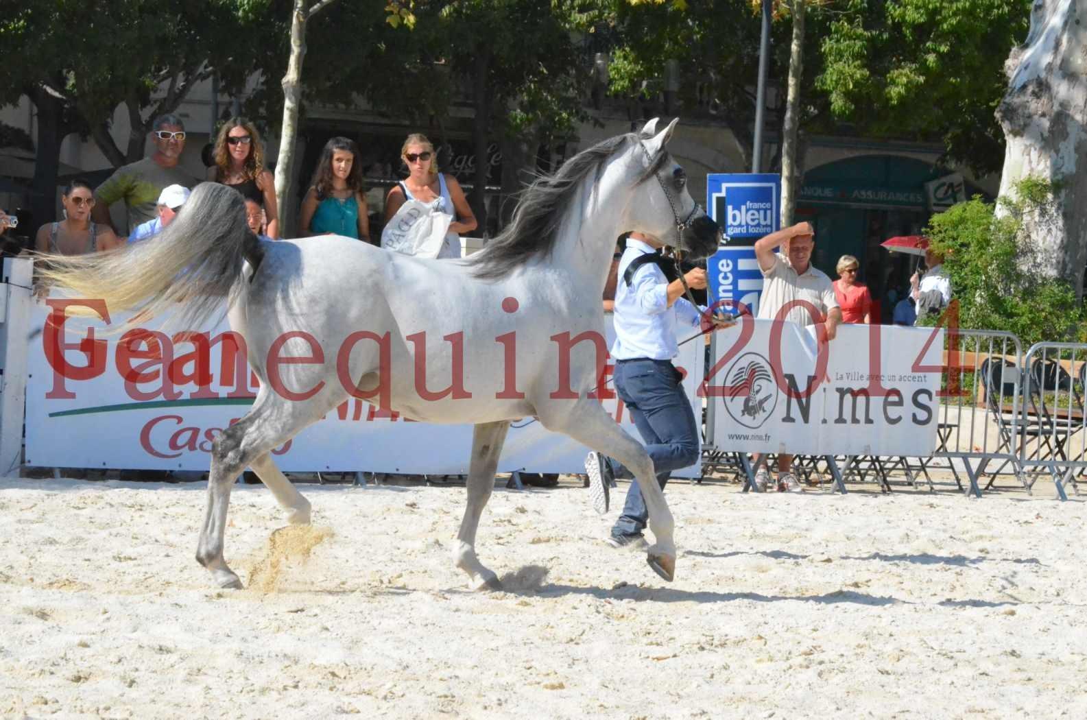 Concours National de Nîmes de chevaux ARABES 2014 - Championnat - SHAOLIN DE NEDJAIA - 15