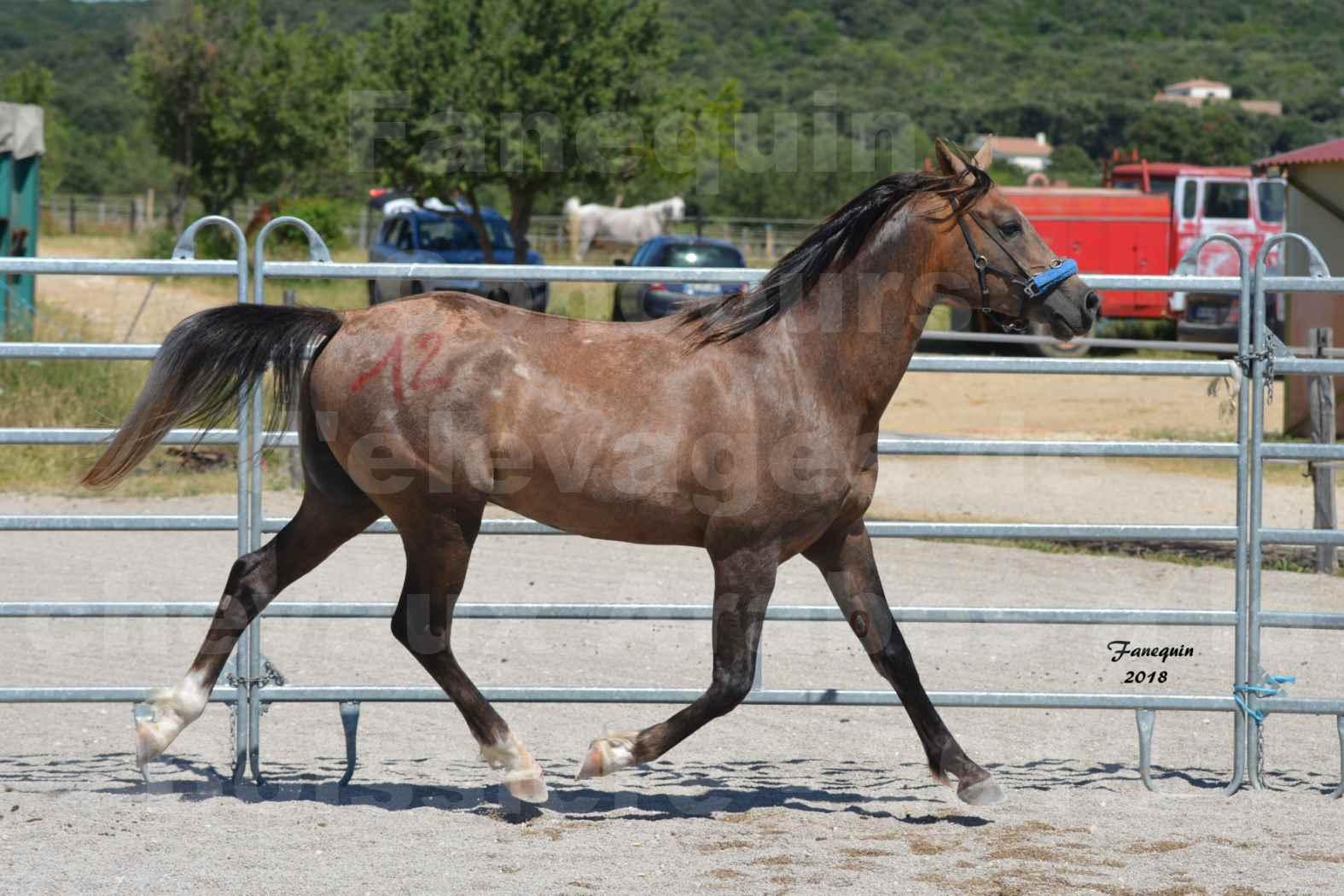 Concours d'Elevage de chevaux Arabes  le 27 juin 2018 à la BOISSIERE - MAREK LOTOIS - 5
