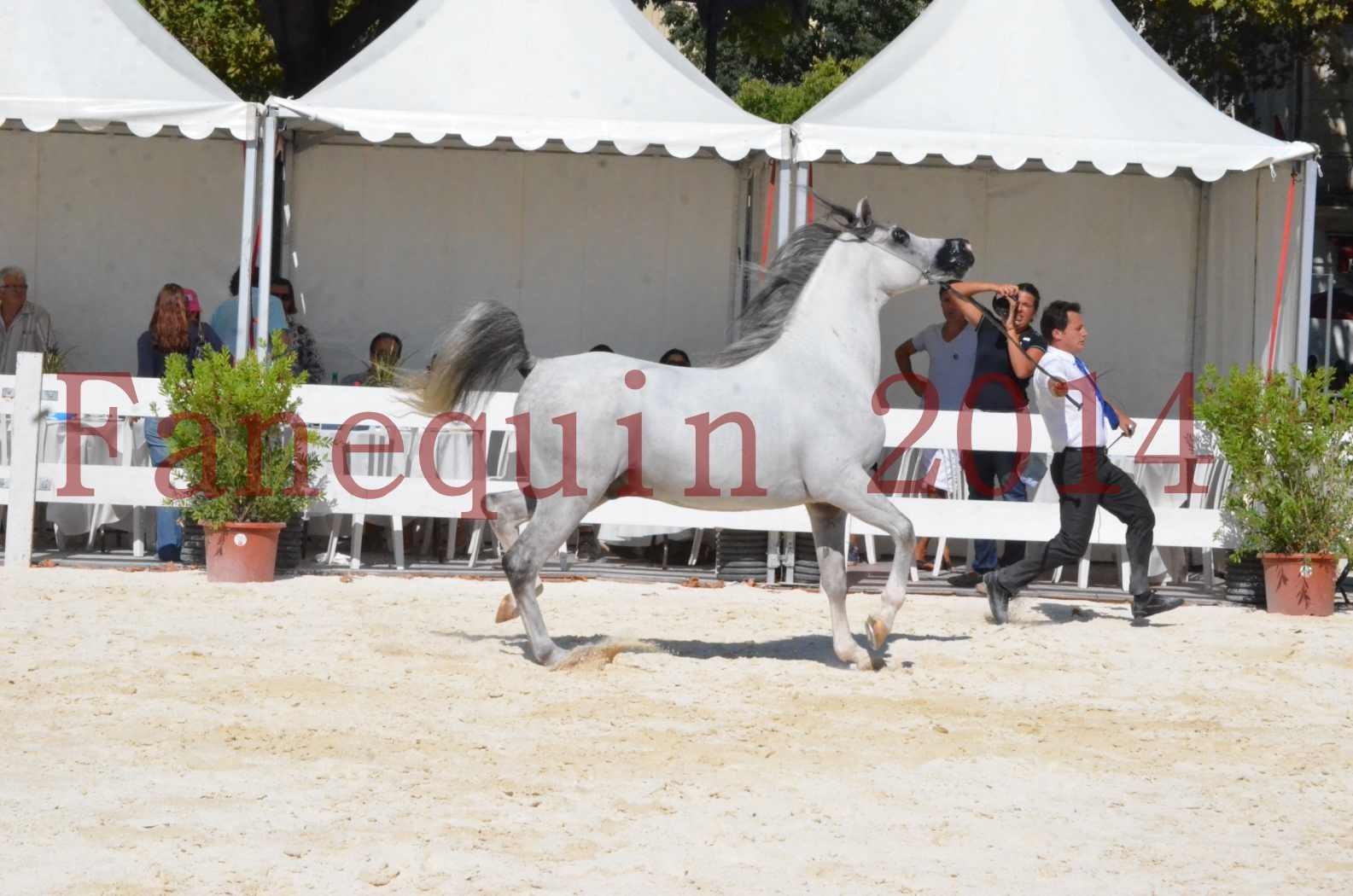 Concours National de Nîmes de chevaux ARABES 2014 - Sélection - SHAOLIN DE NEDJAIA - 07
