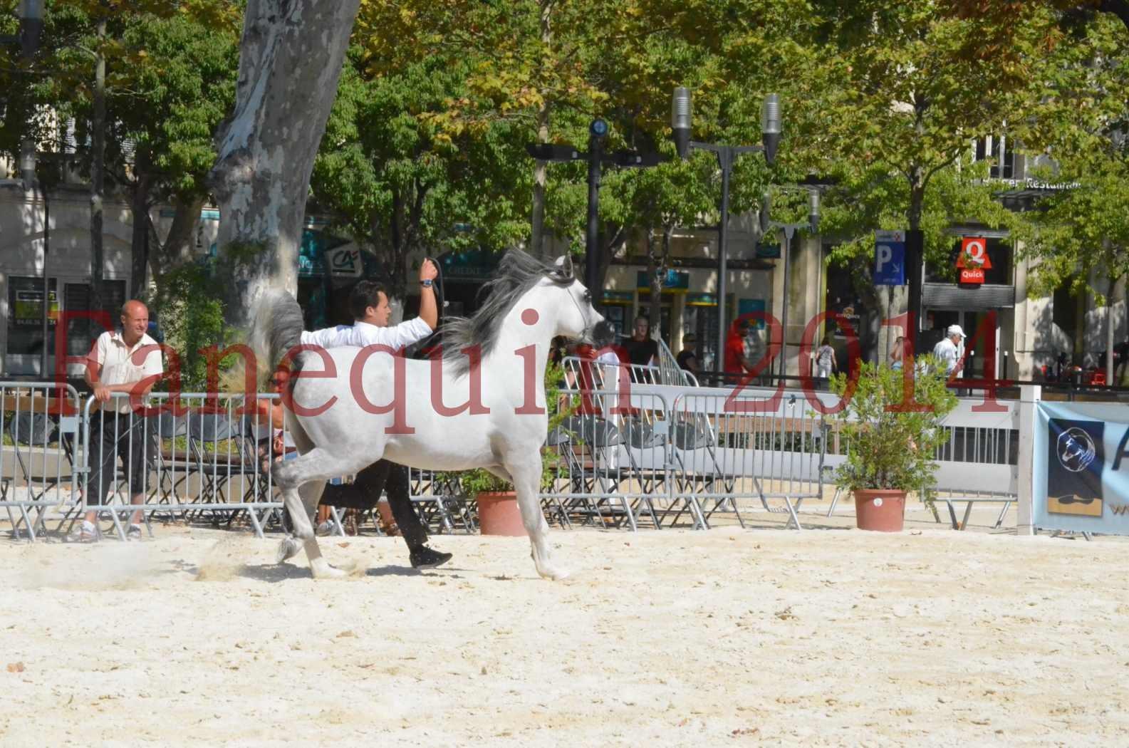 Concours National de Nîmes de chevaux ARABES 2014 - Sélection - SHAOLIN DE NEDJAIA - 40