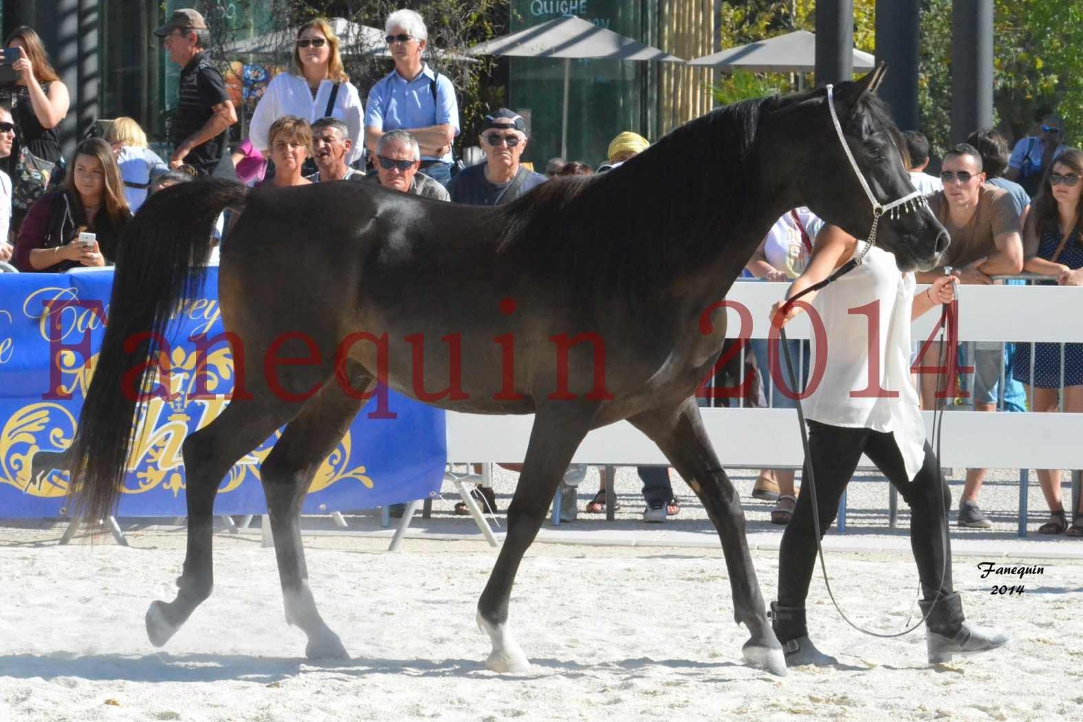 Concours National de Nîmes de chevaux ARABES 2014 - Notre Sélection - BALTYK DE CHAUMONT - 4