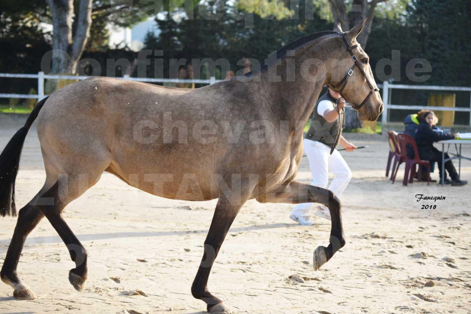 Confirmation de chevaux LUSITANIENS aux Haras d'UZES Novembre 2018 - DISTINTE - 6