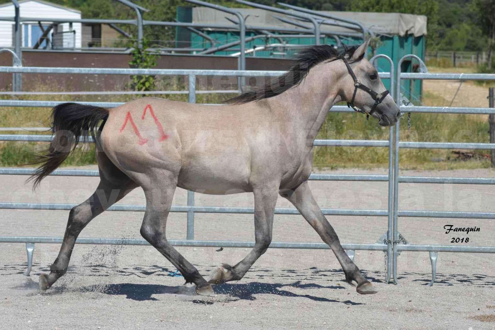 Concours d'Elevage de chevaux Arabes  le 27 juin 2018 à la BOISSIERE - GAZRAK D'AURIERES - 04
