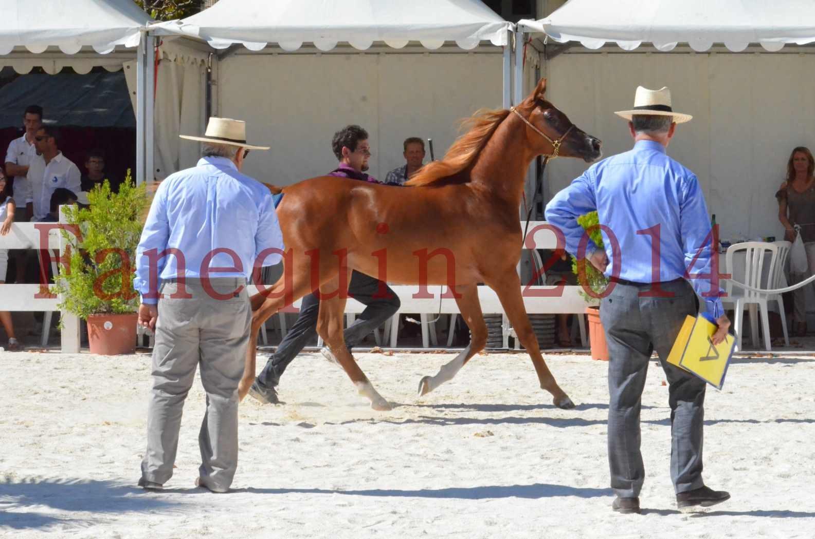 Concours National de Nîmes de chevaux ARABES 2014 - TSAR NERIO - 16