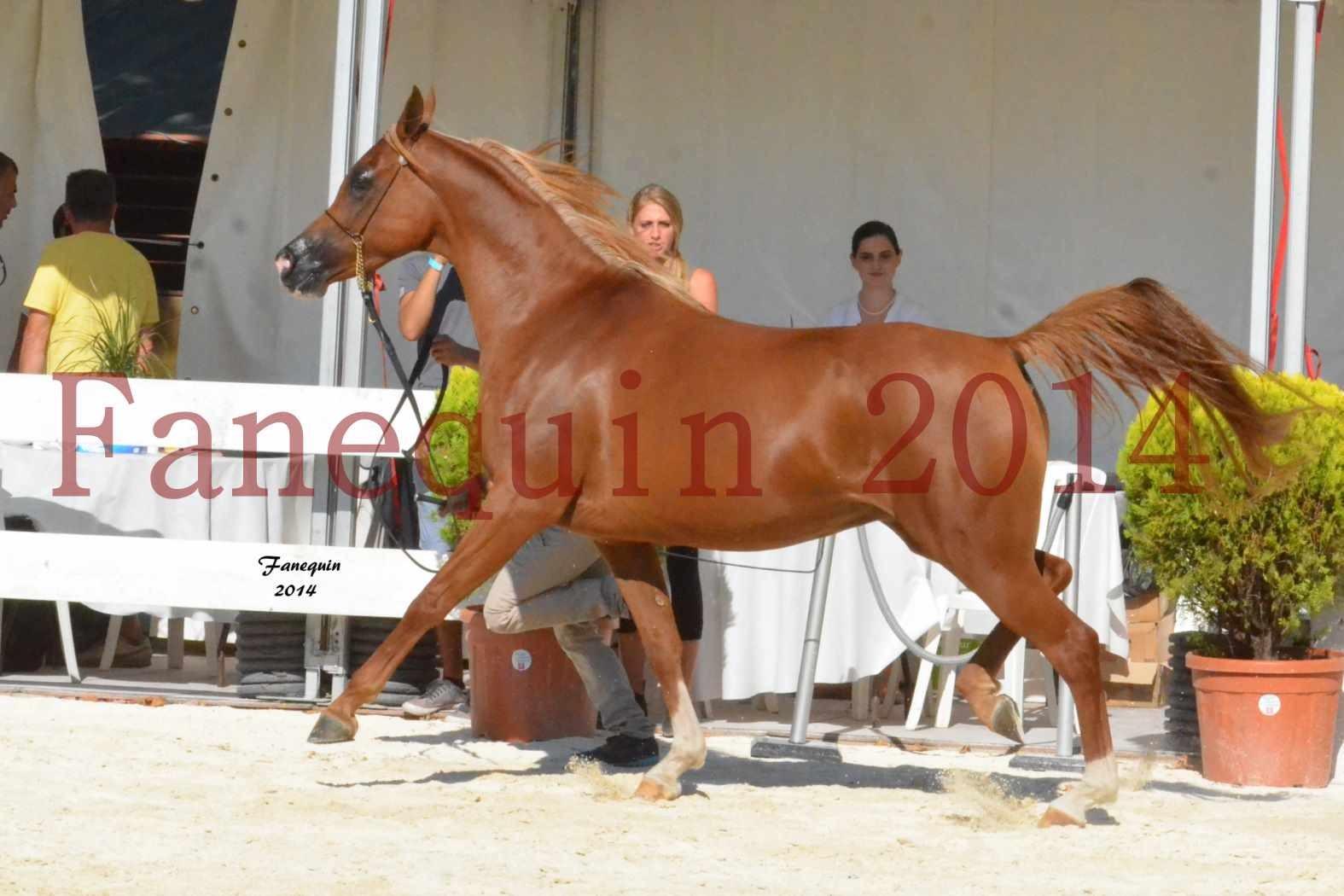 Concours National de Nîmes de chevaux ARABES 2014 - Notre Sélection - MASSAI DE BARREL - 06