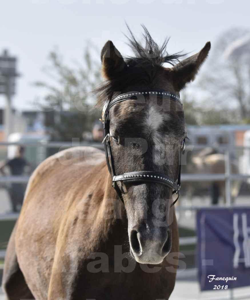 Concours d'élevage de Chevaux Arabes - Demi Sang Arabes - Anglo Arabes - ALBI les 6 & 7 Avril 2018 - GOUMRI DE L'AIGOUAL - Notre Sélection Portraits - 4