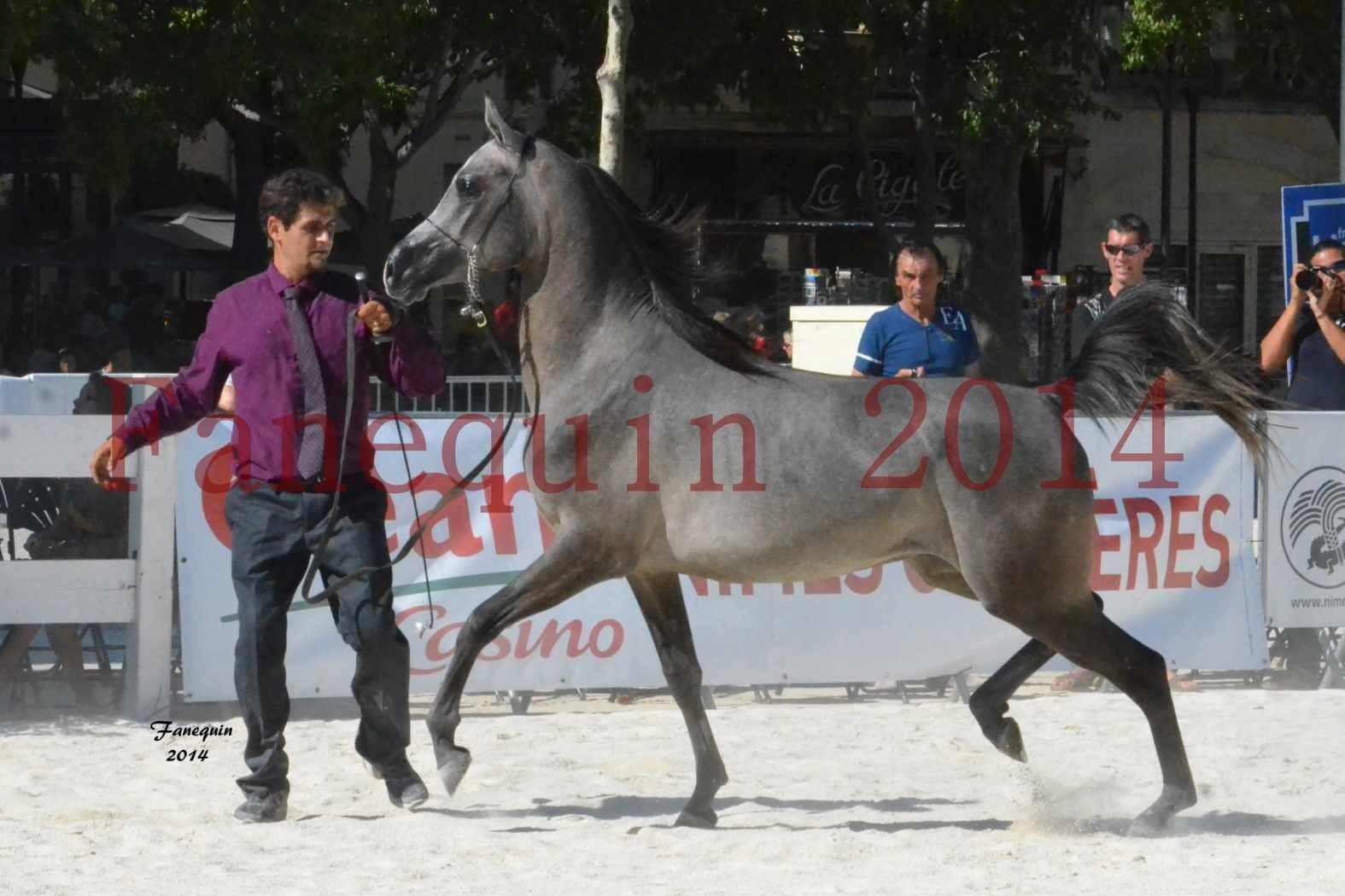 Concours National de Nîmes de chevaux ARABES 2014 - Notre Sélection - JOSEPH'S BOUZIOLS - 16