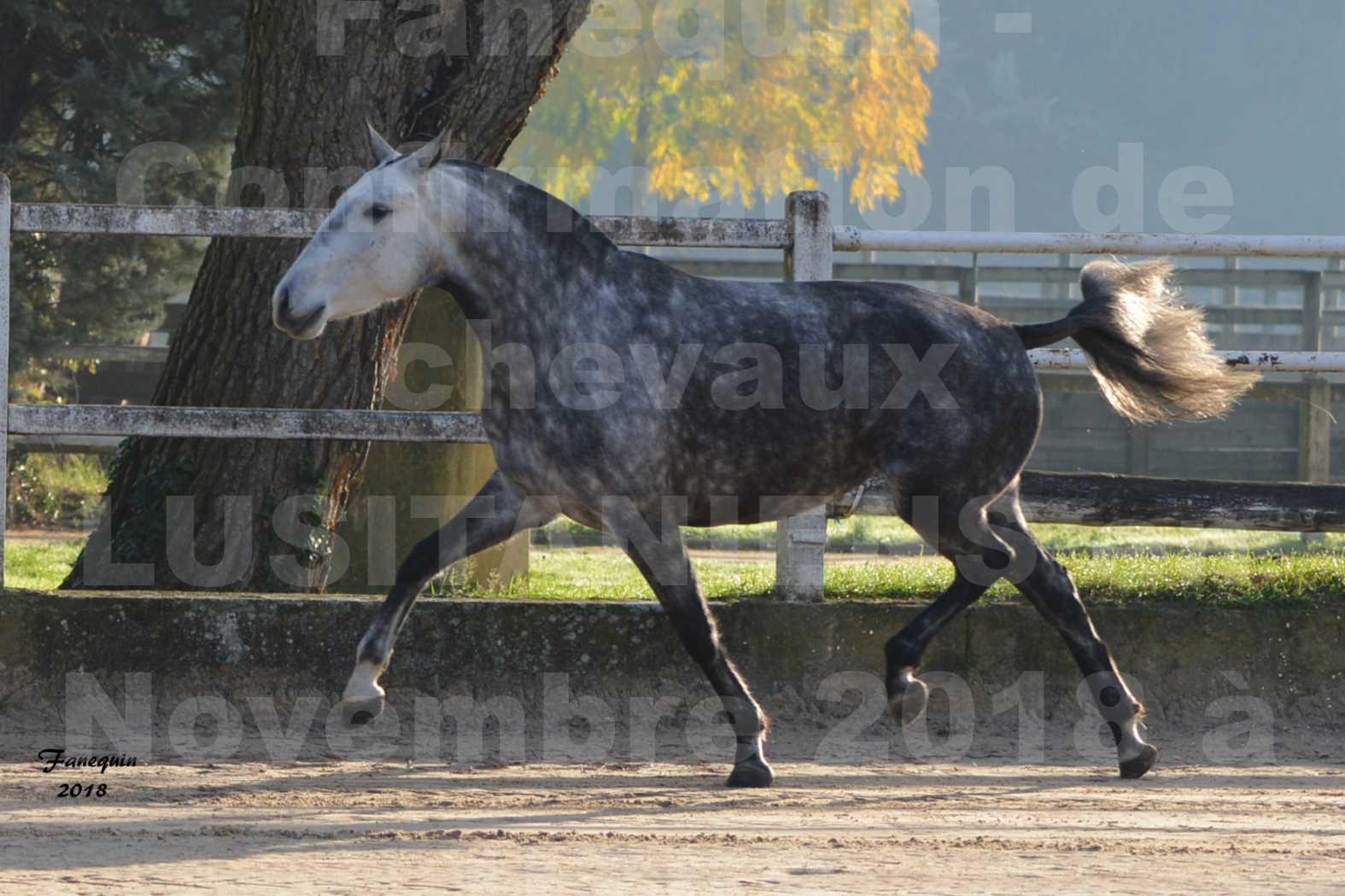 Confirmation de chevaux LUSITANIENS aux Haras d'UZES Novembre 2018 - JANIA SAINT SAUVEUR - 2