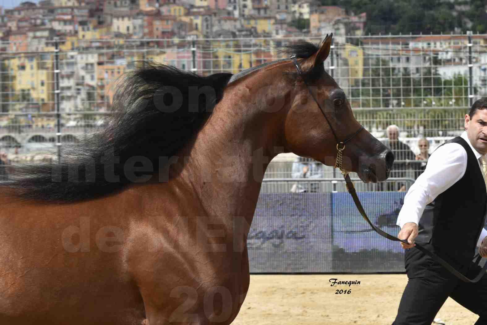 Championnat du pur-sang arabe de la Méditerranée et des pays arabes - MENTON 2016 - GALLARDO J - Notre Sélection - Portraits - 1
