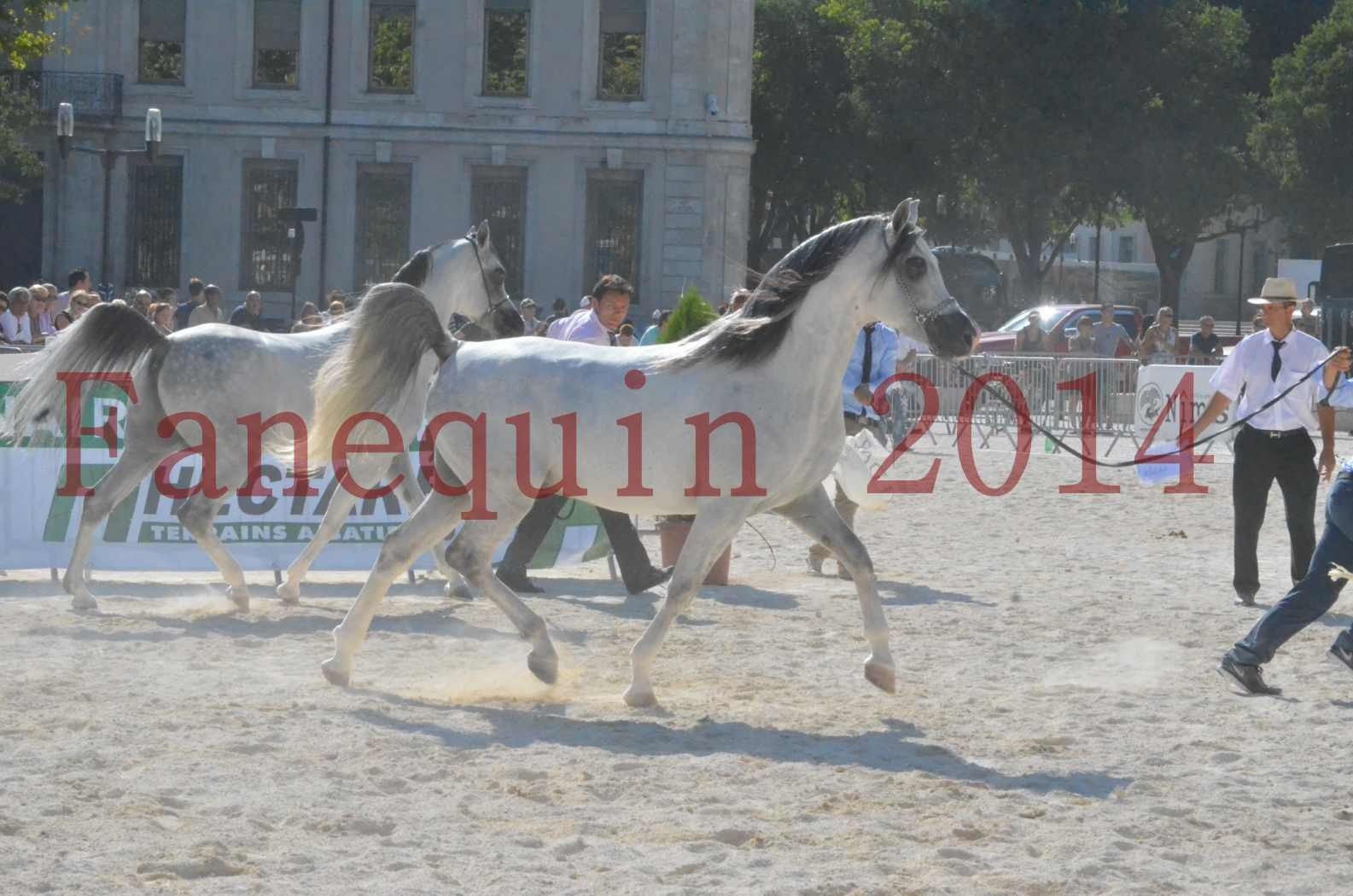 Concours National de Nîmes de chevaux ARABES 2014 - Championnat - SHAOLIN DE NEDJAIA - 07