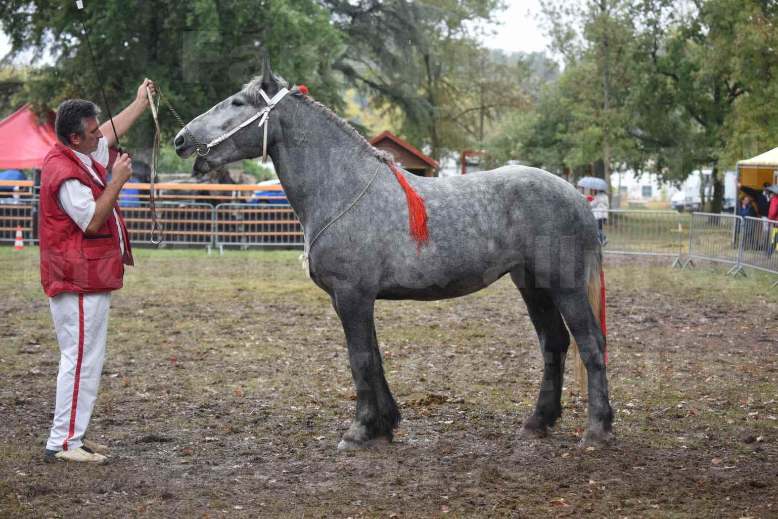 Concours Régional de chevaux de traits en 2017 - Pouliche Trait PERCHERON - FANY DES COUSTAUSSES - 4