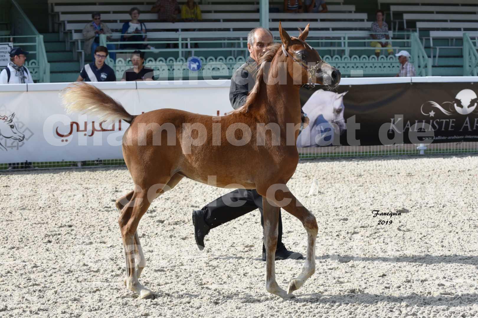 Championnat de France des chevaux Arabes en 2019 à VICHY - SH CYRENE - 3