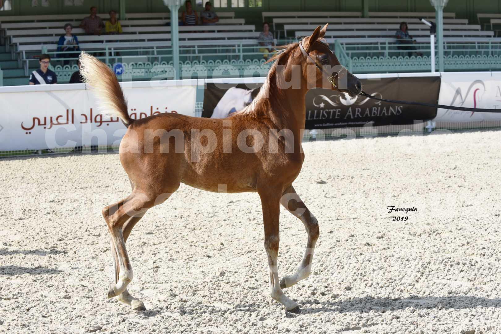 Championnat de France des chevaux Arabes en 2019 à VICHY - SH CYRENE - 1