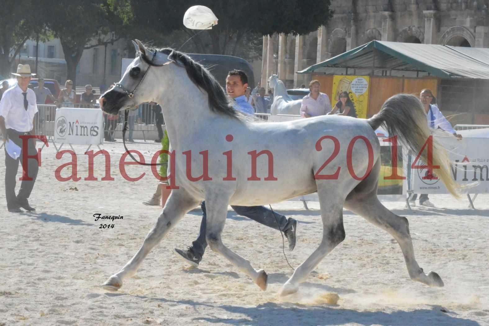 Concours National de Nîmes de chevaux ARABES 2014 - Notre Sélection - SHAOLIN DE NEDJAIA - 22