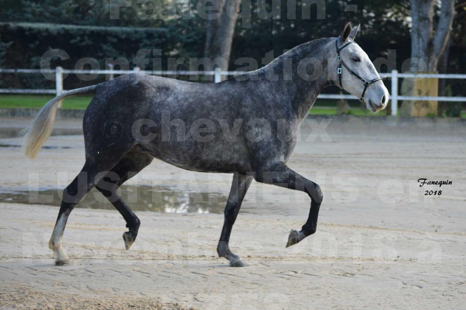 Confirmation de chevaux LUSITANIENS aux Haras d'UZES Novembre 2018 - DALIA DU CLOS - 5