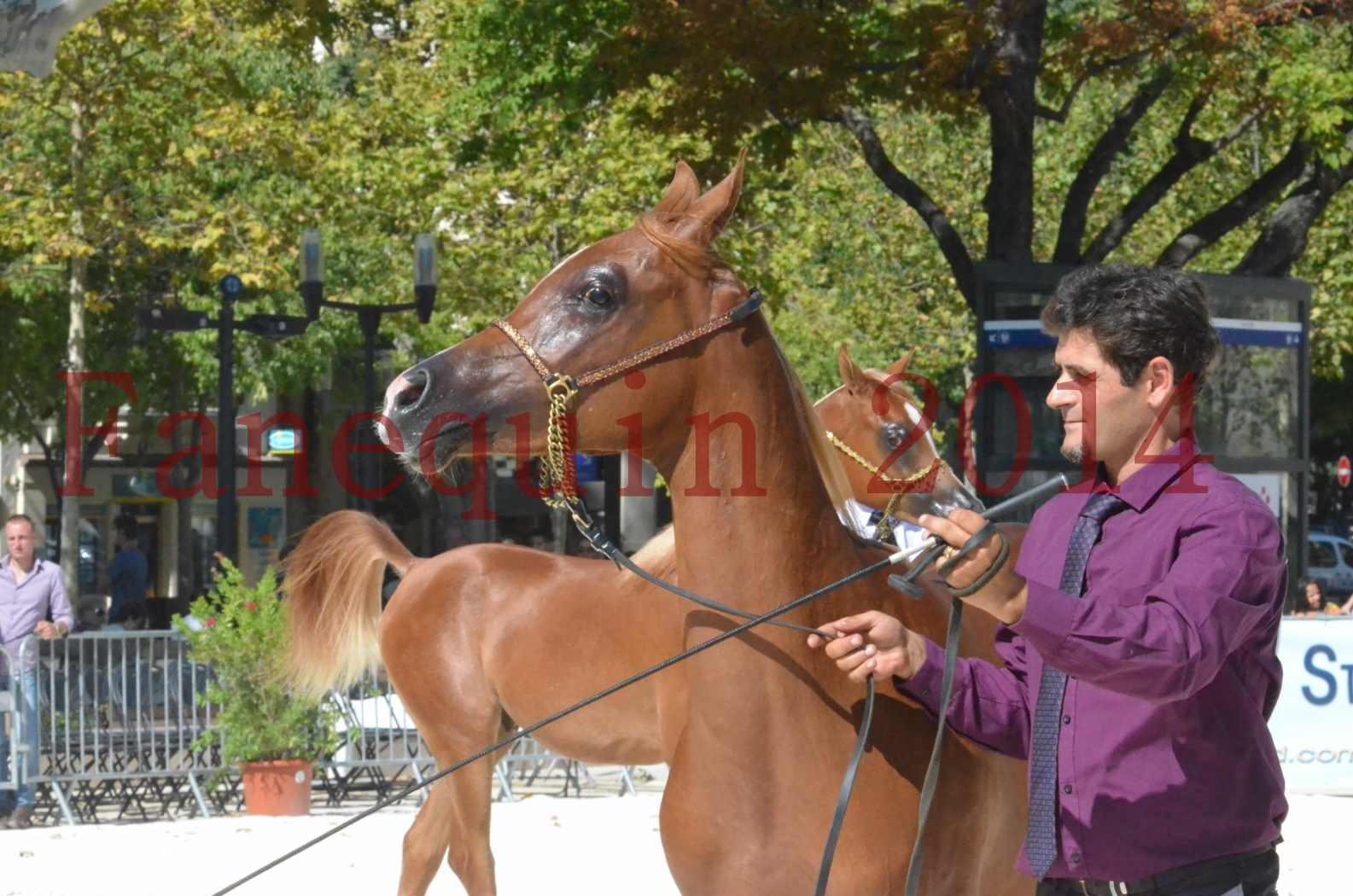 Concours National de Nîmes de chevaux ARABES 2014 - TSAR NERIO - 13