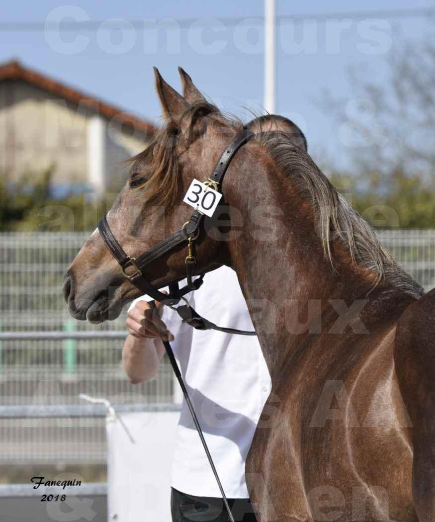 Concours d'élevage de Chevaux Arabes - D S A - A A - ALBI les 6 & 7 Avril 2018 - DJAHM AL MOUNJOYE - Notre Sélection - Portraits - 1