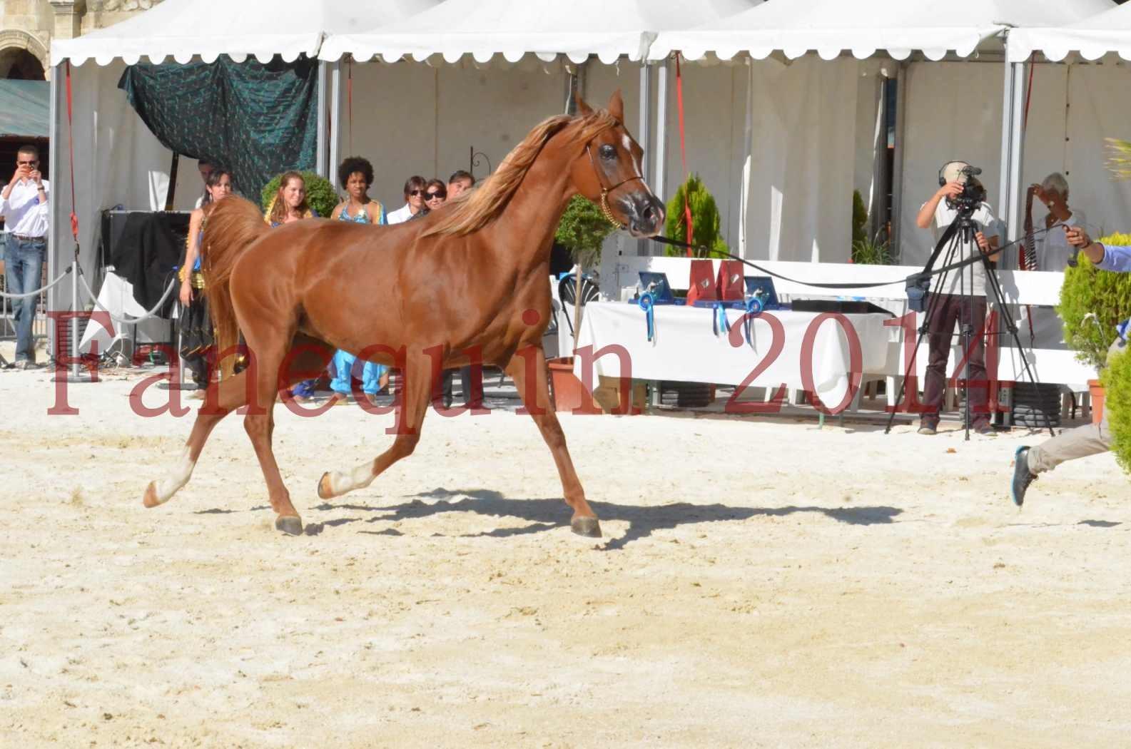 Concours National de Nîmes de chevaux ARABES 2014 - Championnat - MASSAI DE BARREL - 77