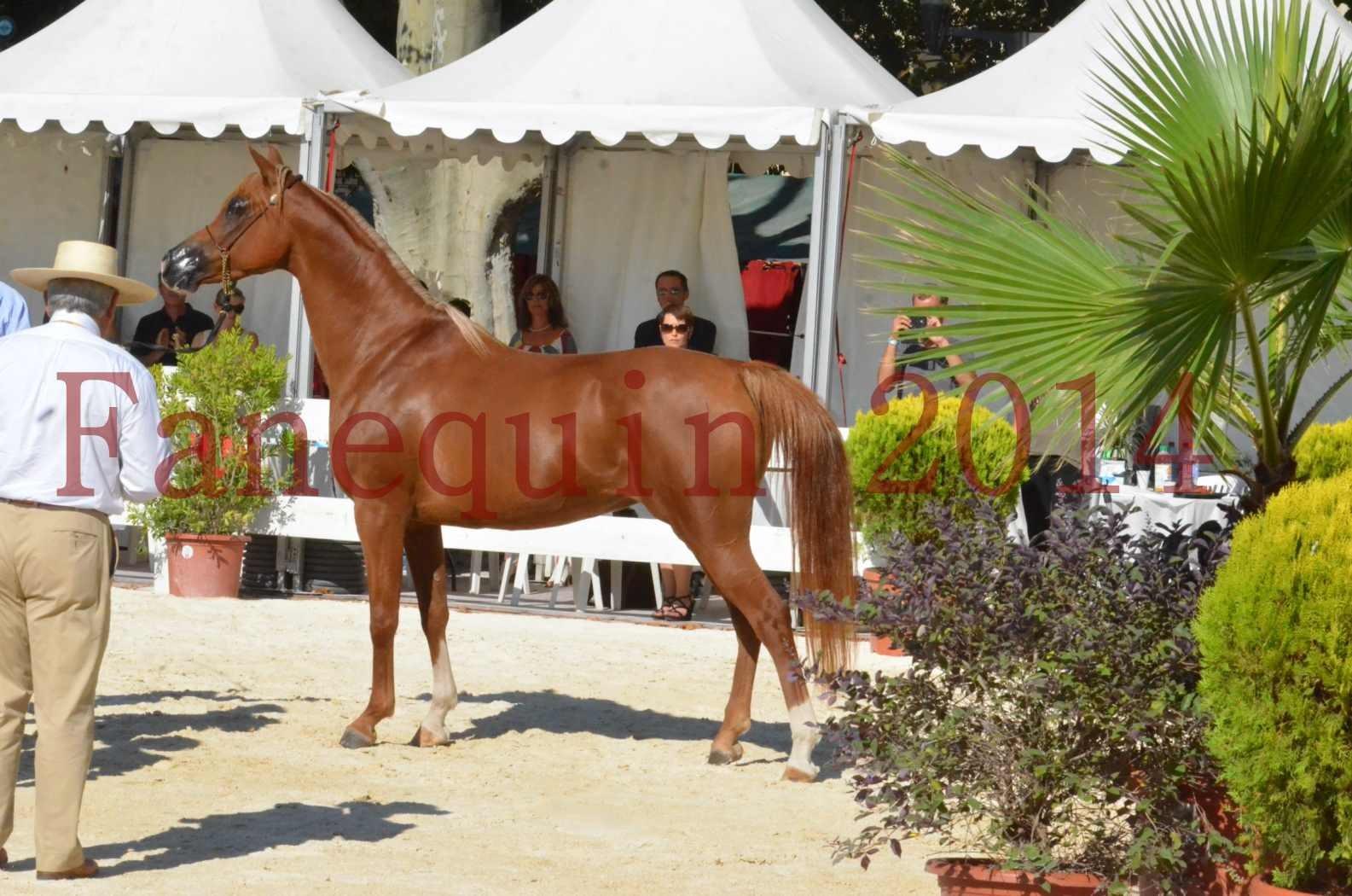 Concours National de Nîmes de chevaux ARABES 2014 - Championnat - MASSAI DE BARREL - 83