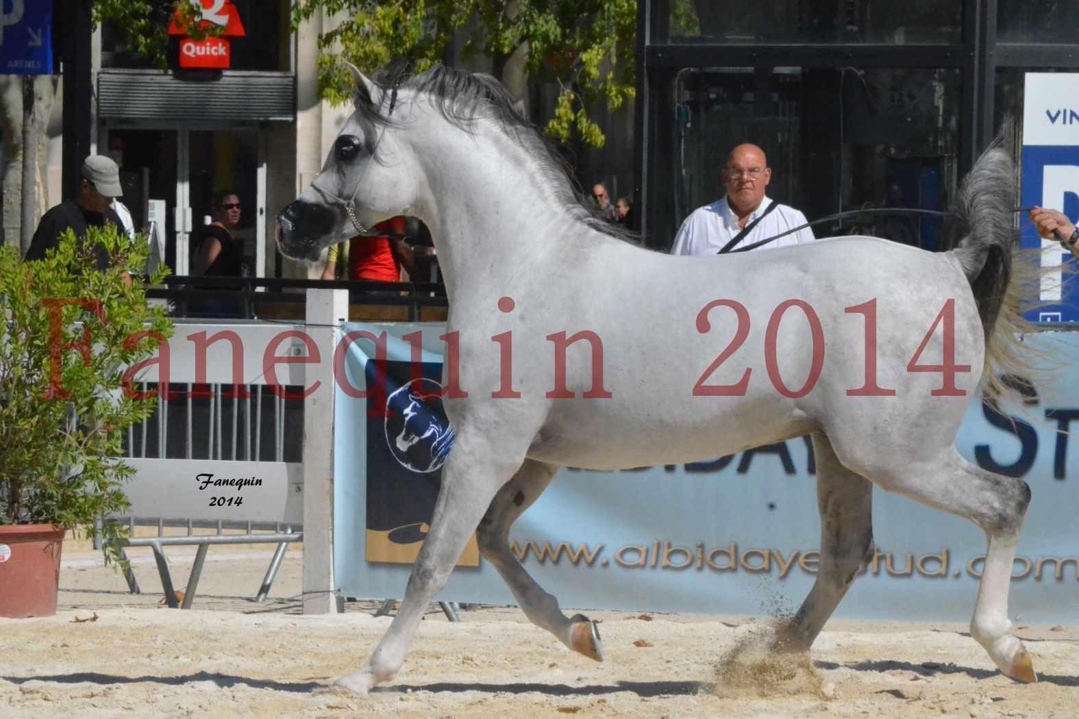 Concours National de Nîmes de chevaux ARABES 2014 - Notre Sélection - SHAOLIN DE NEDJAIA - 18