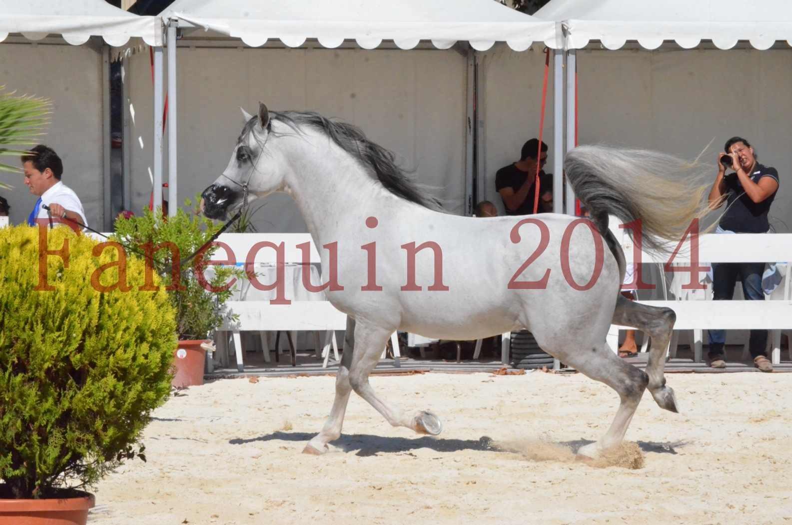Concours National de Nîmes de chevaux ARABES 2014 - Sélection - SHAOLIN DE NEDJAIA - 30
