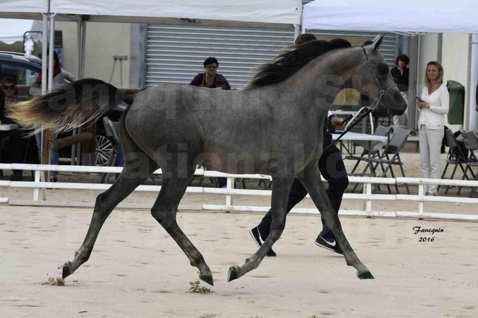Show national de chevaux arabes de CHAZEY sur AIN 2016 - NM HACINA - Notre Sélection - 05