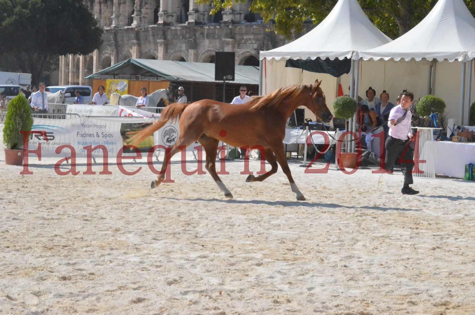 Concours National de Nîmes de chevaux ARABES 2014 - Championnat - MASSAI DE BARREL - 11