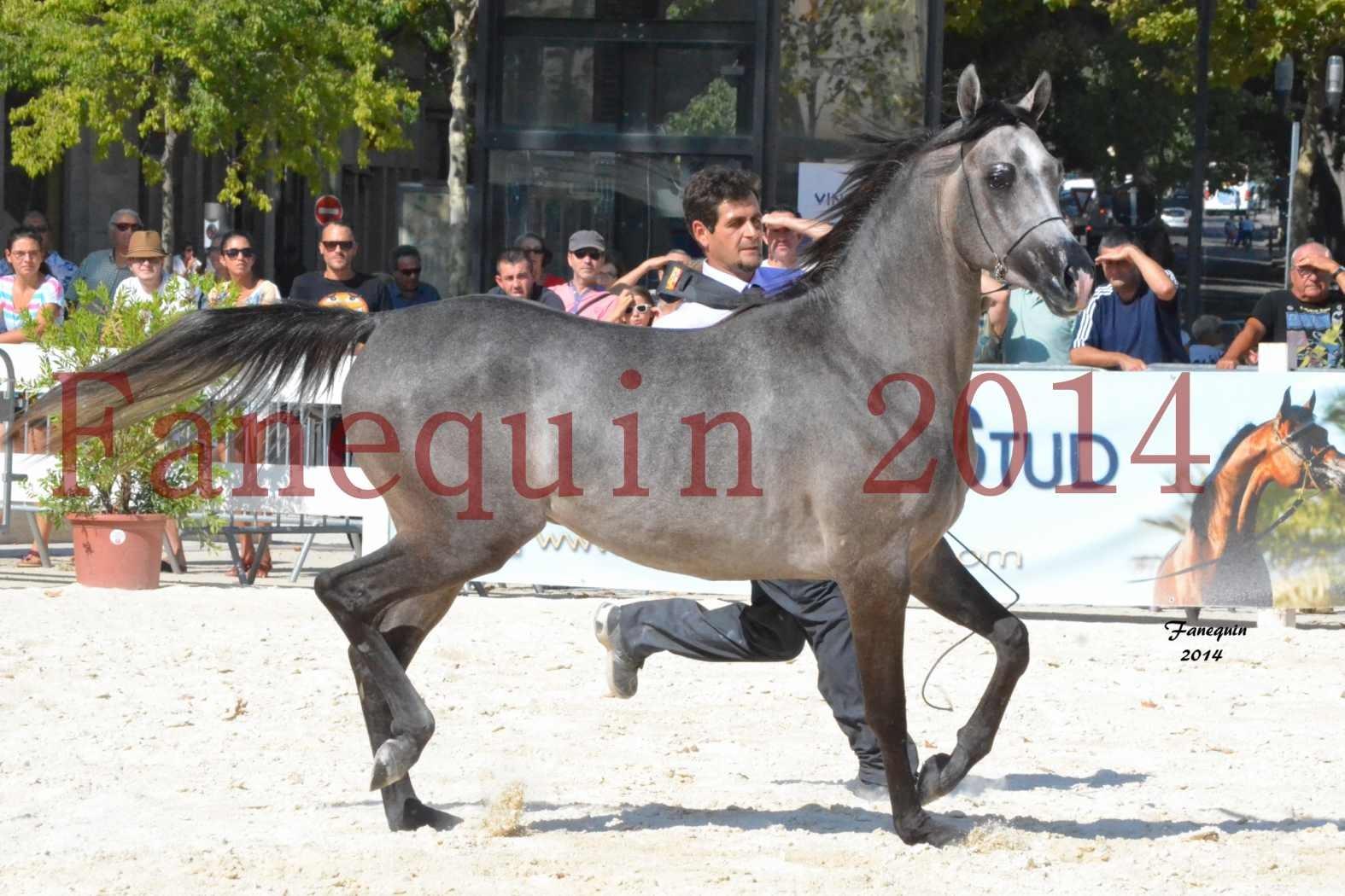 Concours National de Nîmes de chevaux ARABES 2014 - Notre Sélection - JOSEPH'S BOUZIOLS - 01