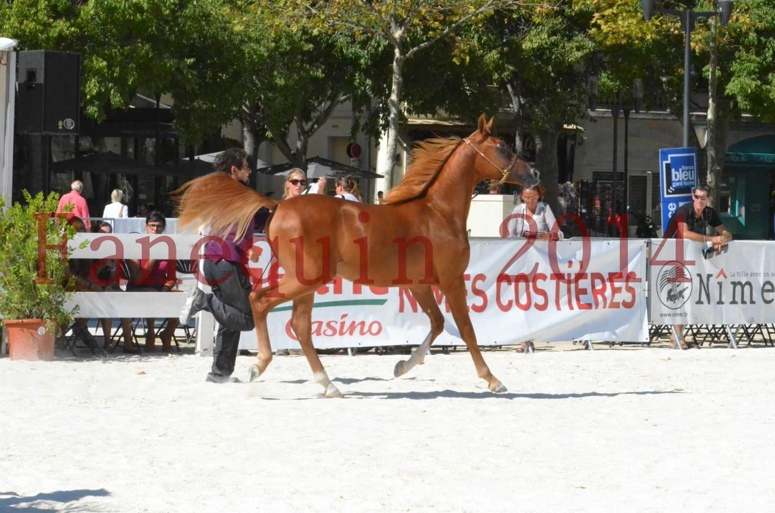 Concours National de Nîmes de chevaux ARABES 2014 - TSAR NERIO - 18